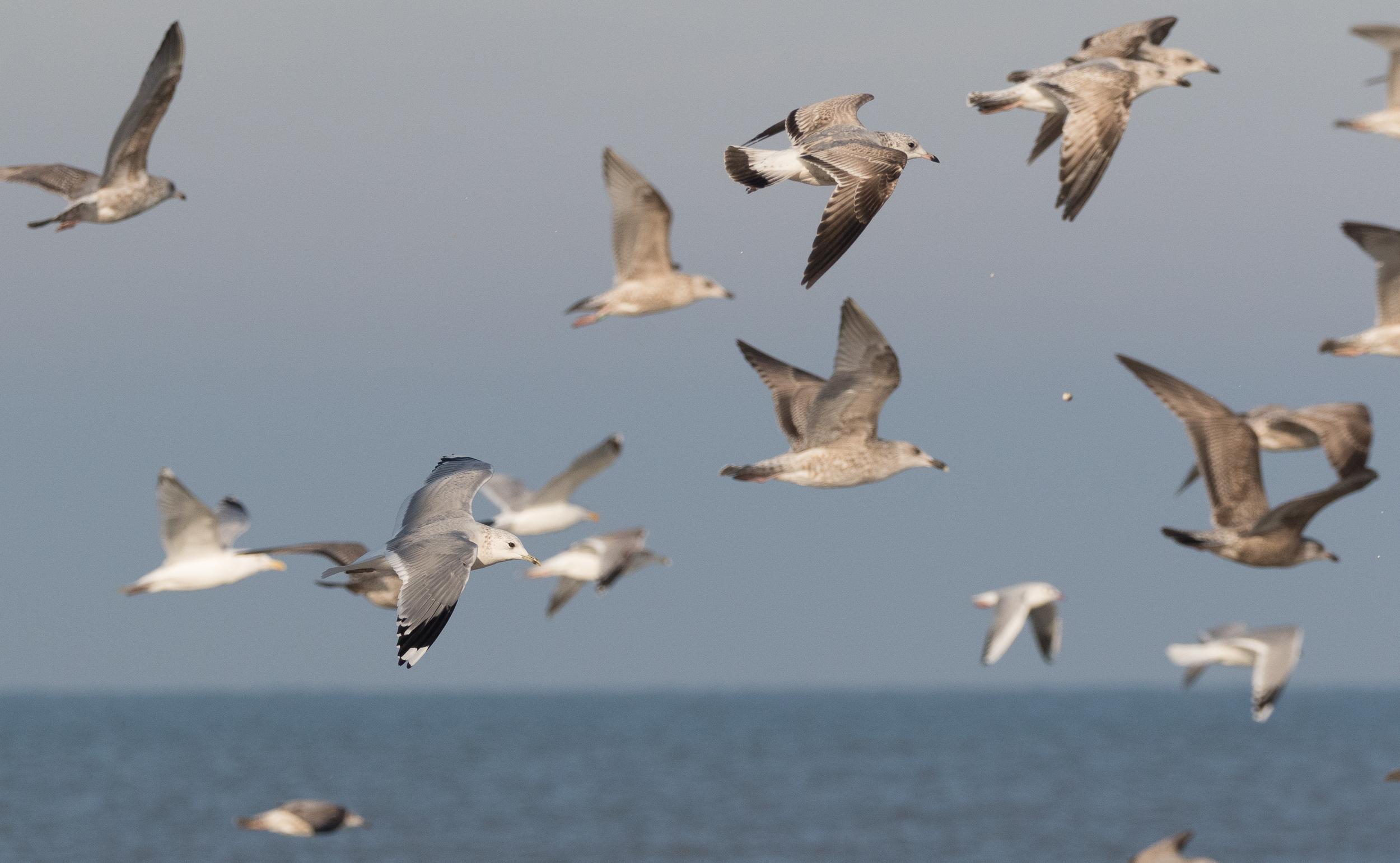 20170121-Common Gull Adult-163.jpg