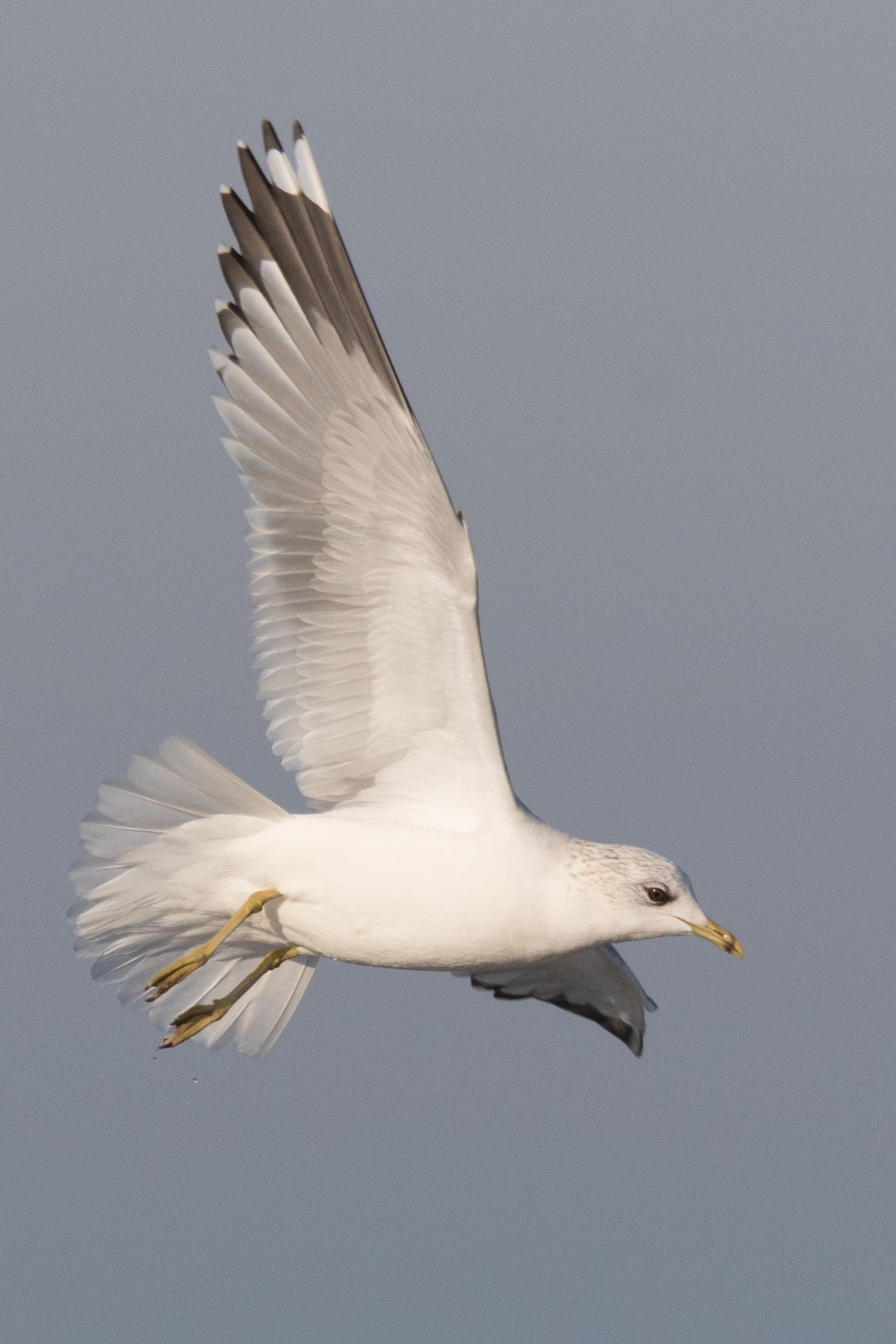 20170121-Common Gull Adult-164.jpg