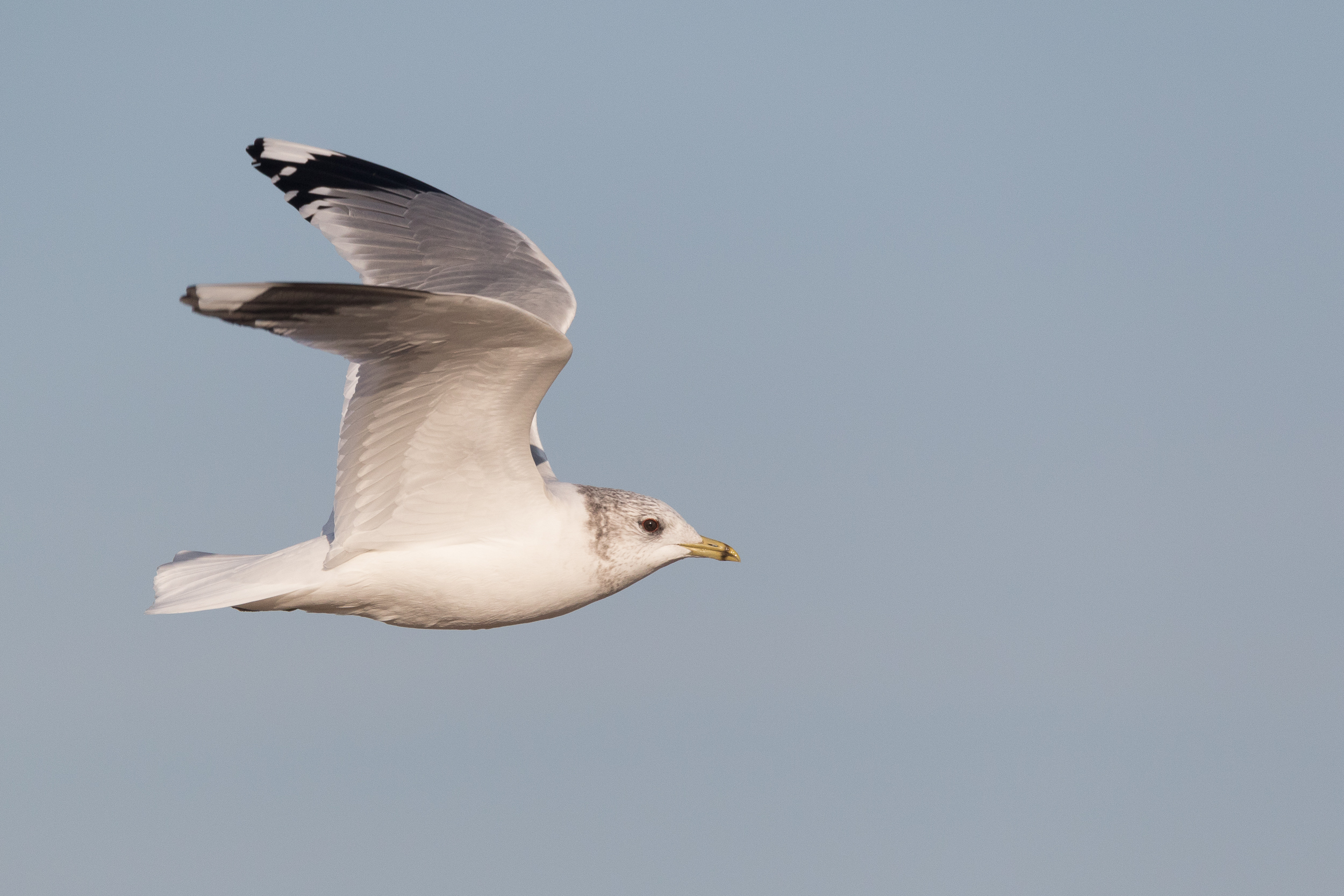 20170121-Common Gull Adult-162.jpg