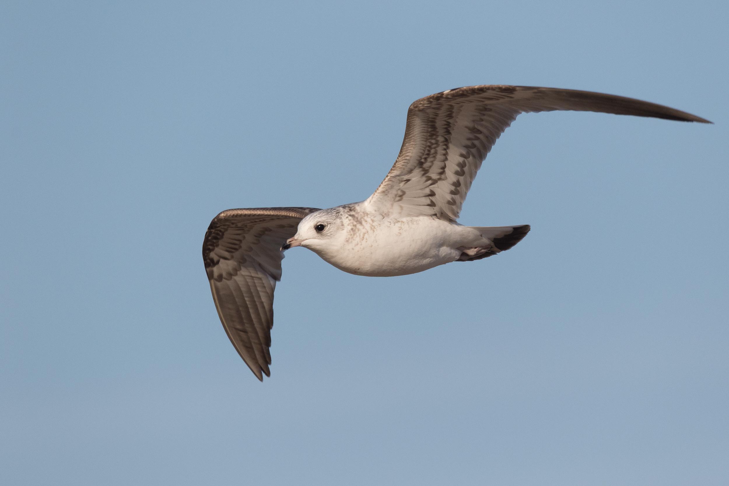 20170121-Common Gull 2CY-43.jpg