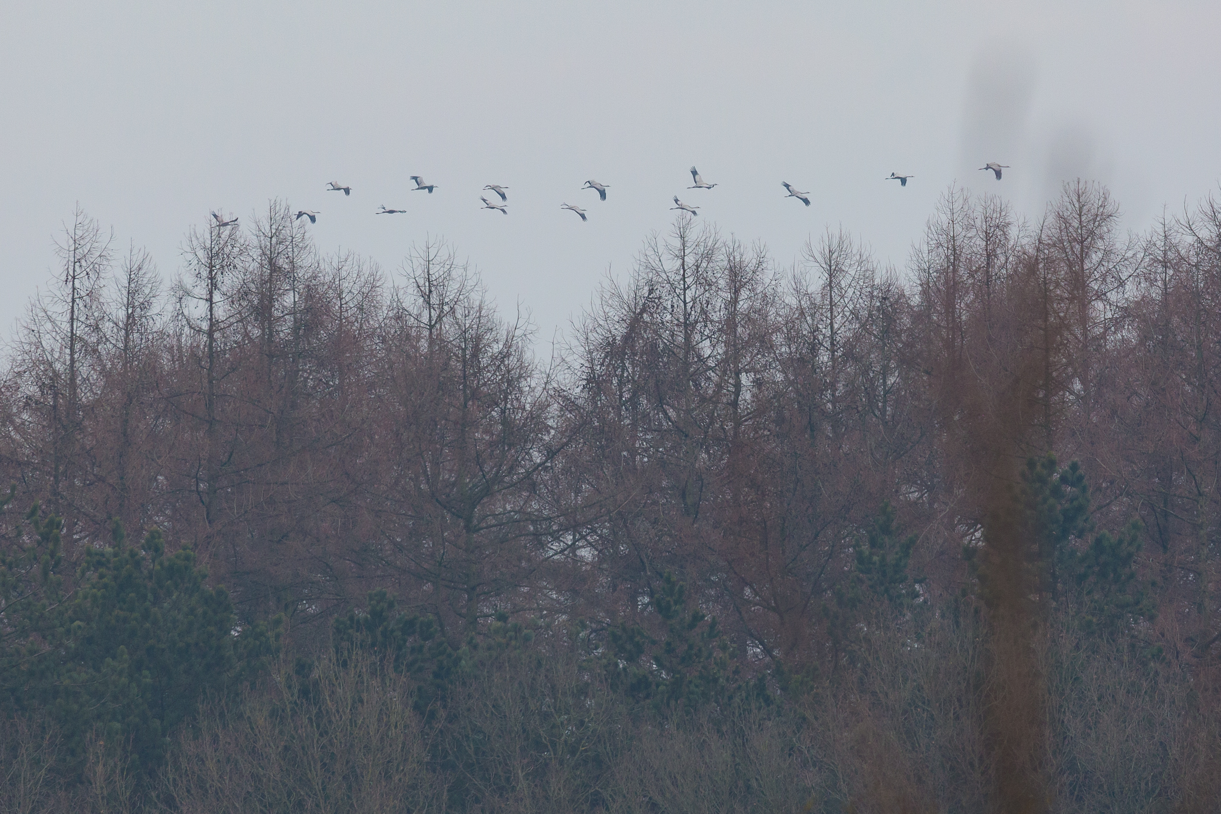 Flyby of Common Cranes