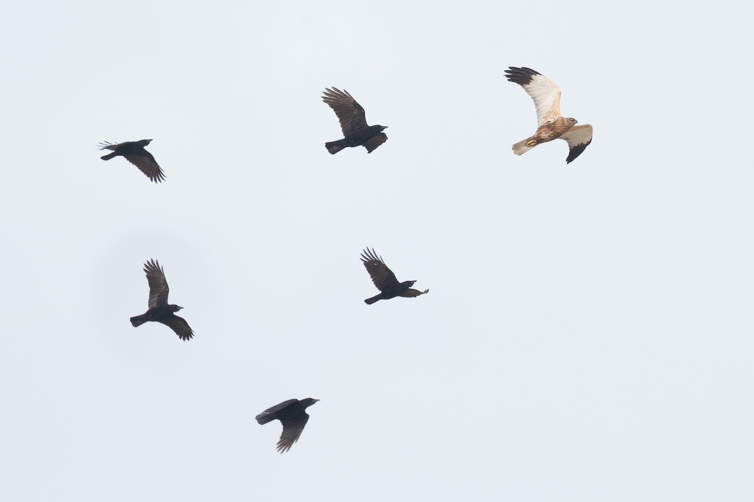 Adult male Marsh Harrier, harassed by Crows — an artist impression