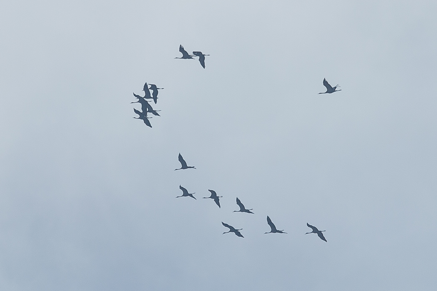 Crappy record shot of the group of 15 Cranes