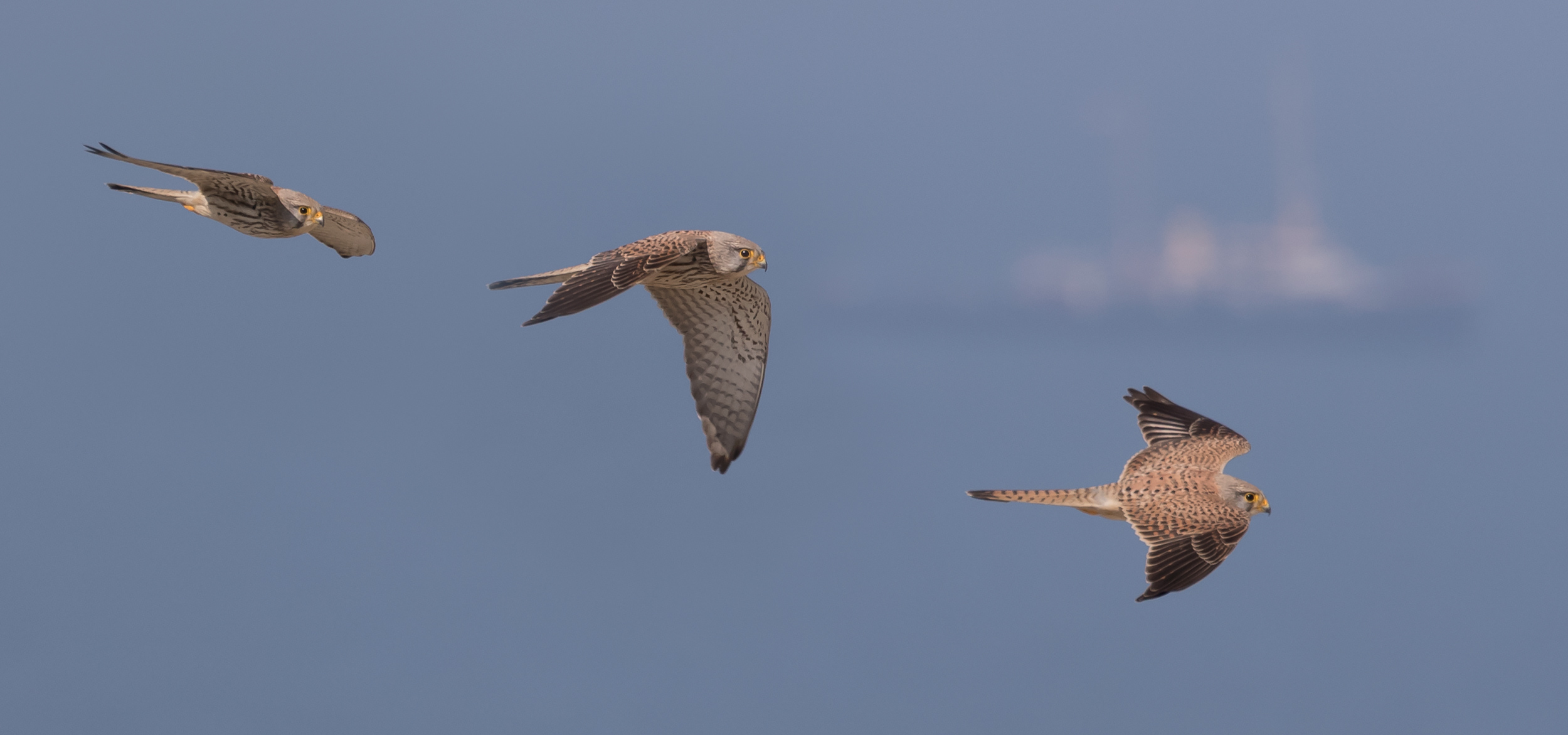 Photo compilation of a Common Kestrel (presumably a 2cy male).