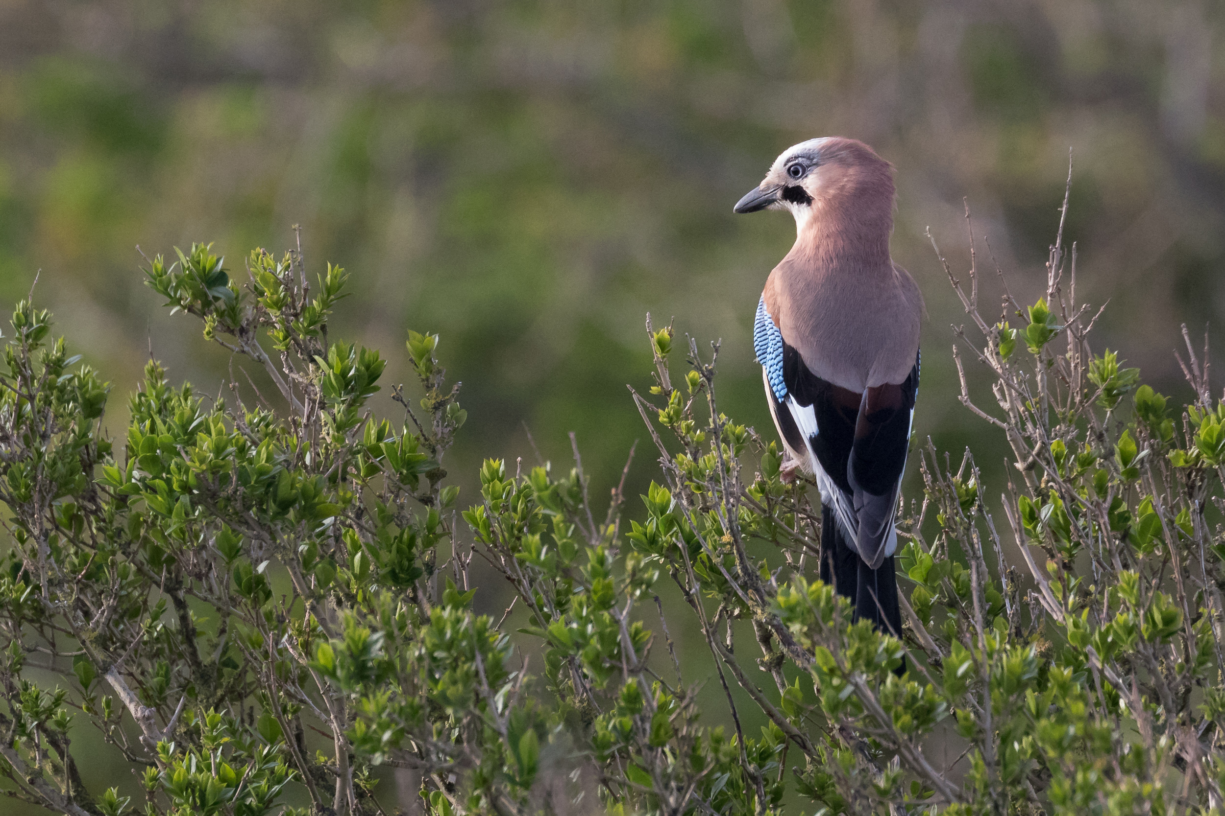 The local pair of Jays is showing quite well, flying continuously back and forth to and from a presumed nest.