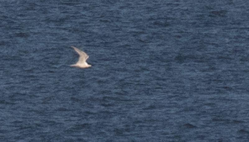 Gull-billed Tern #2.