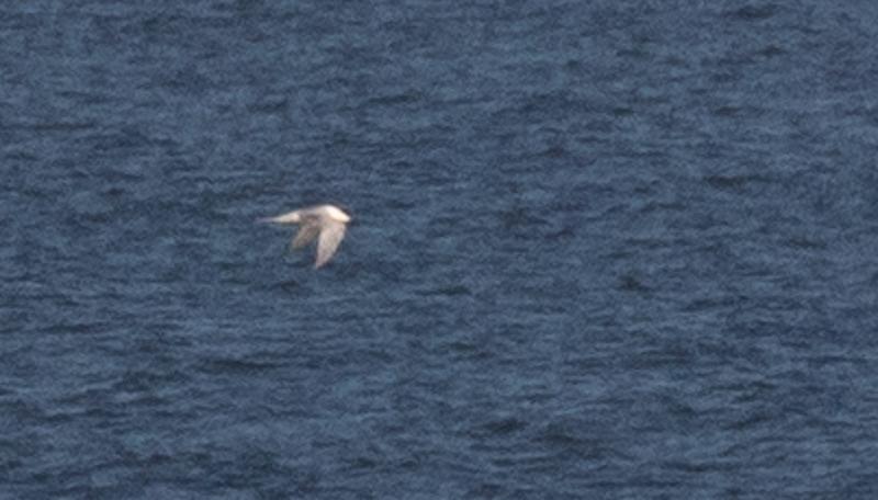 Gull-billed Tern #1.
