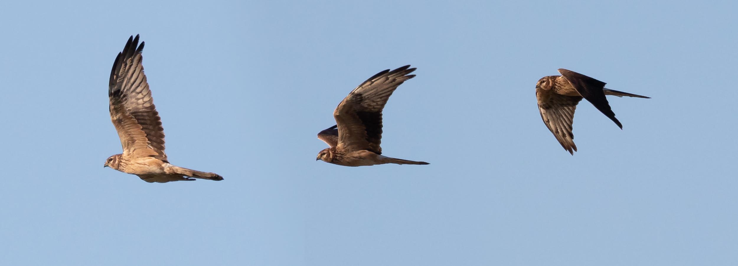 2CY Female Montagu's Harrier (photo compilation).