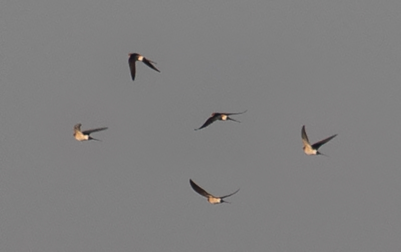 Red-rumped Swallow (photo compilation).