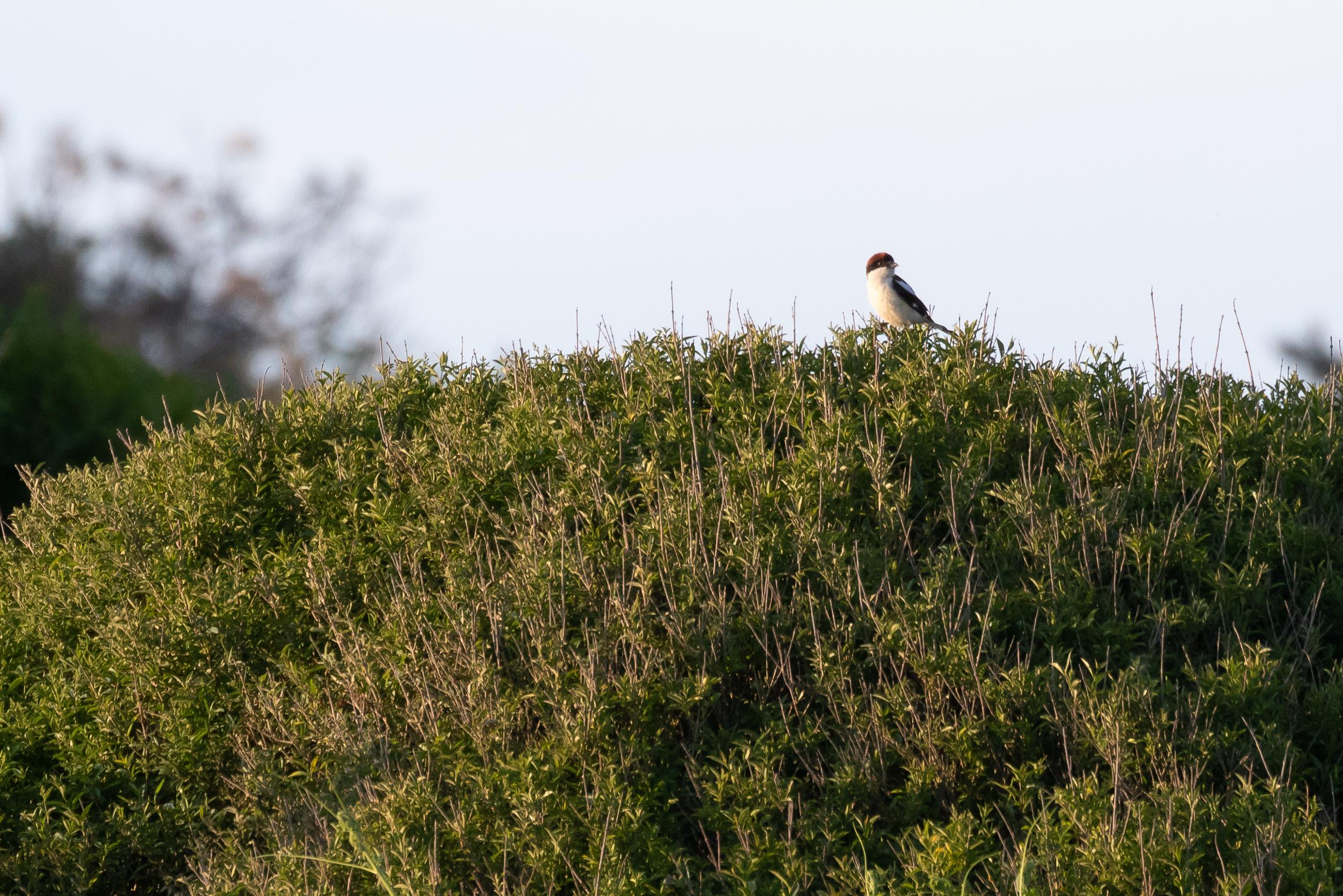 2CY Male Woodchat Shrike.