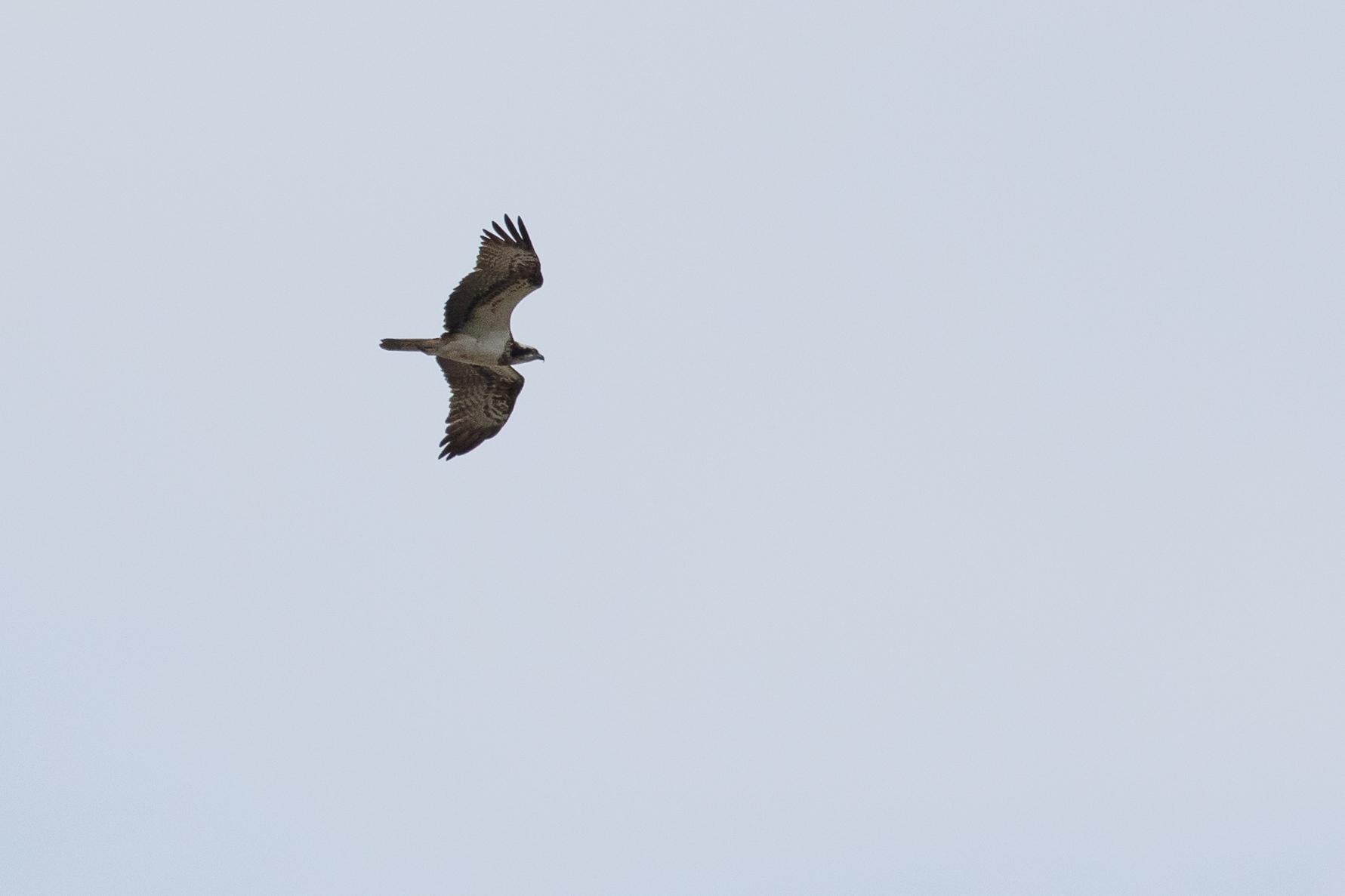 Adult female Osprey.