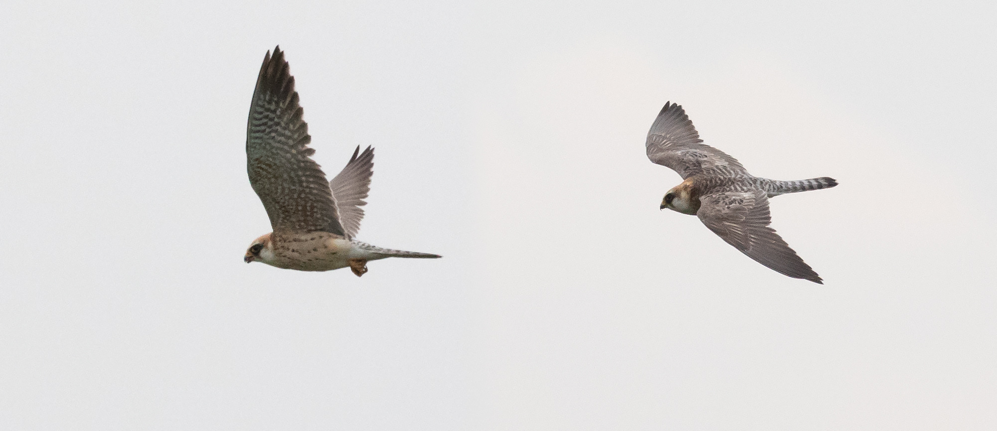 Juvenile flight feathers, some moulted greyish and barred upperwing coverts and tail feathers, barred underwing coverts and still an entirely female-type body plumage nail this as a 2CY female Red-footed Falcon.