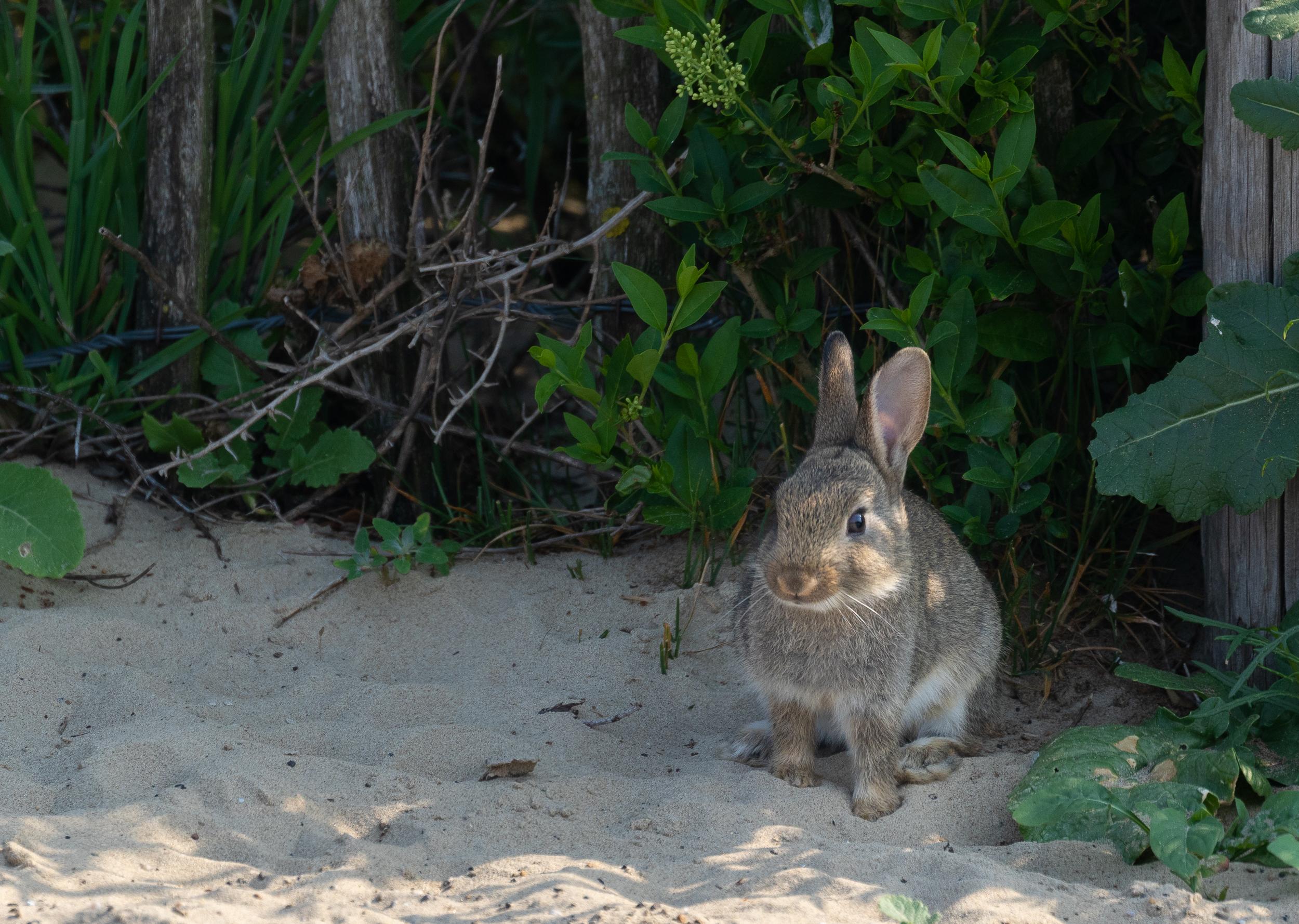 A young European Rabbit.