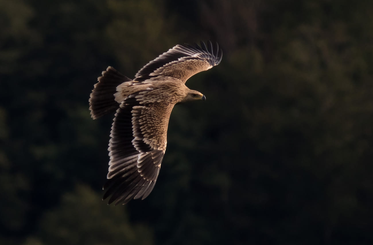 You could be lucky enough to see an Imperial Eagle flying 20 meters past the station. Maybe you can even hear the wind move through its feathers. Photo by John Wright.