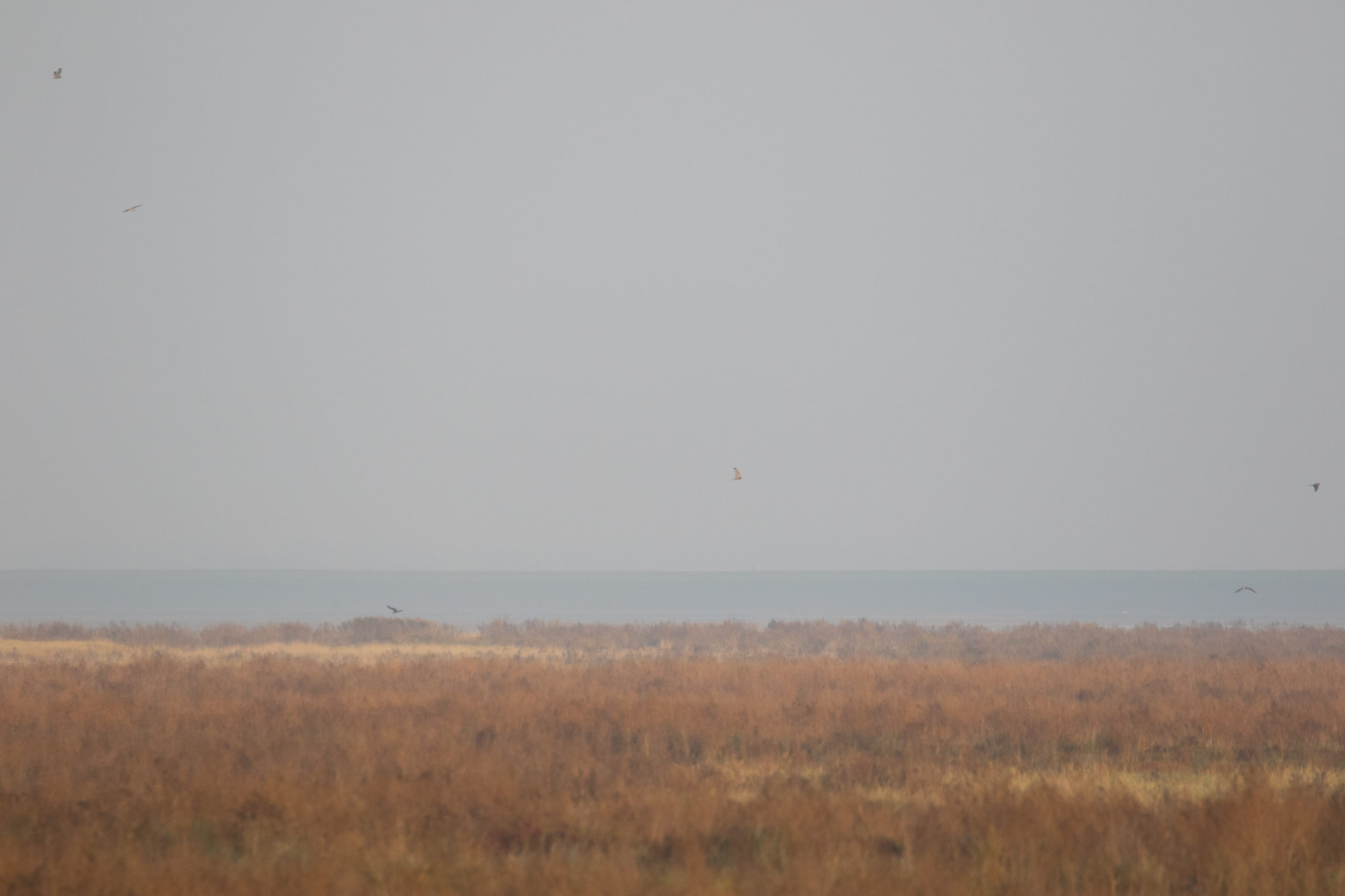 I could not fit more than 3 Short-Eared owls in 1 picture at a time, so here goes: the 3 highest birds are SE Owls, the 3 lowest birds are 1cy Hen Harriers.