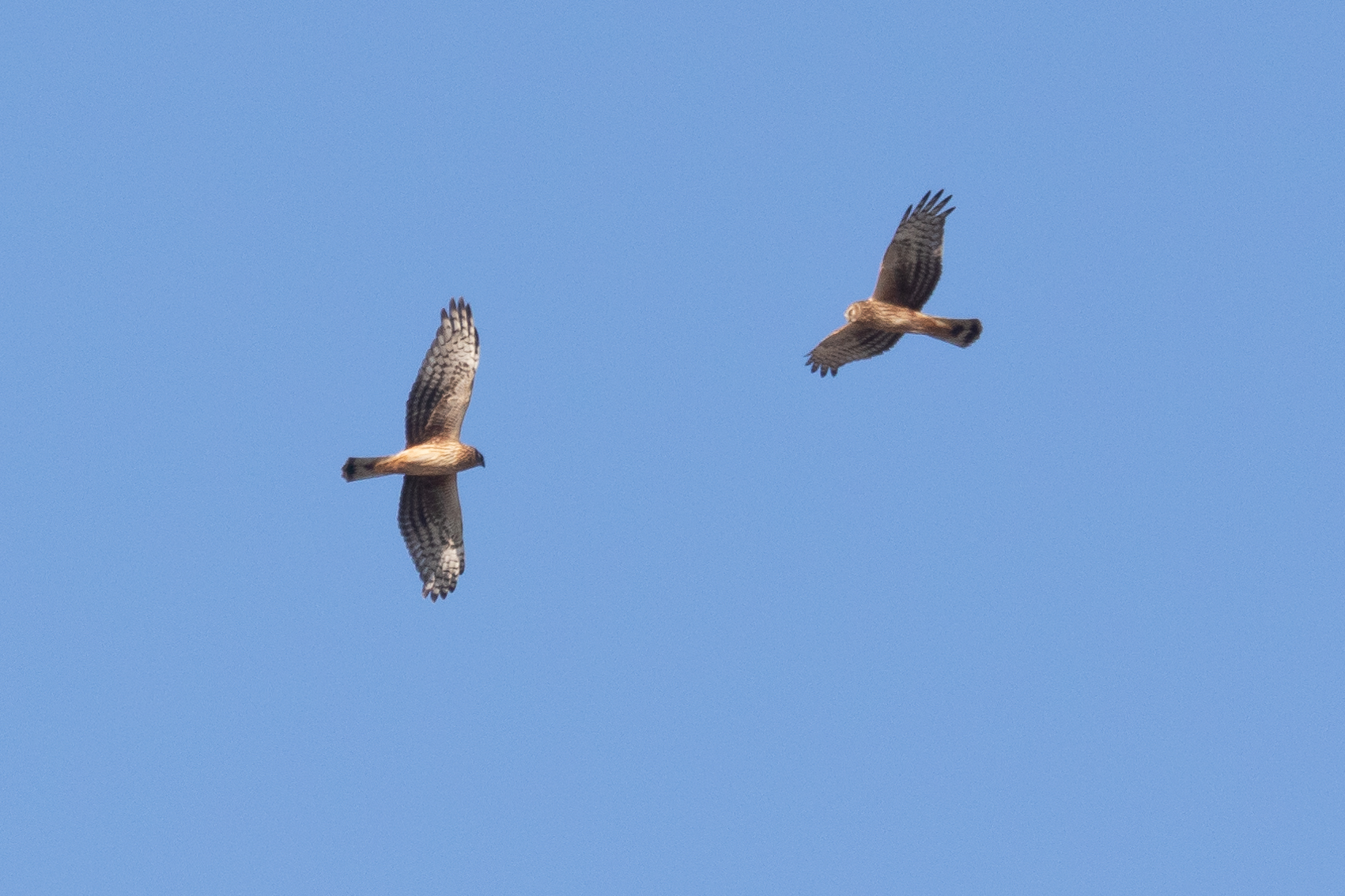 Two juvenile male Hen Harriers flying so close together they can be photographed while both being in focus.