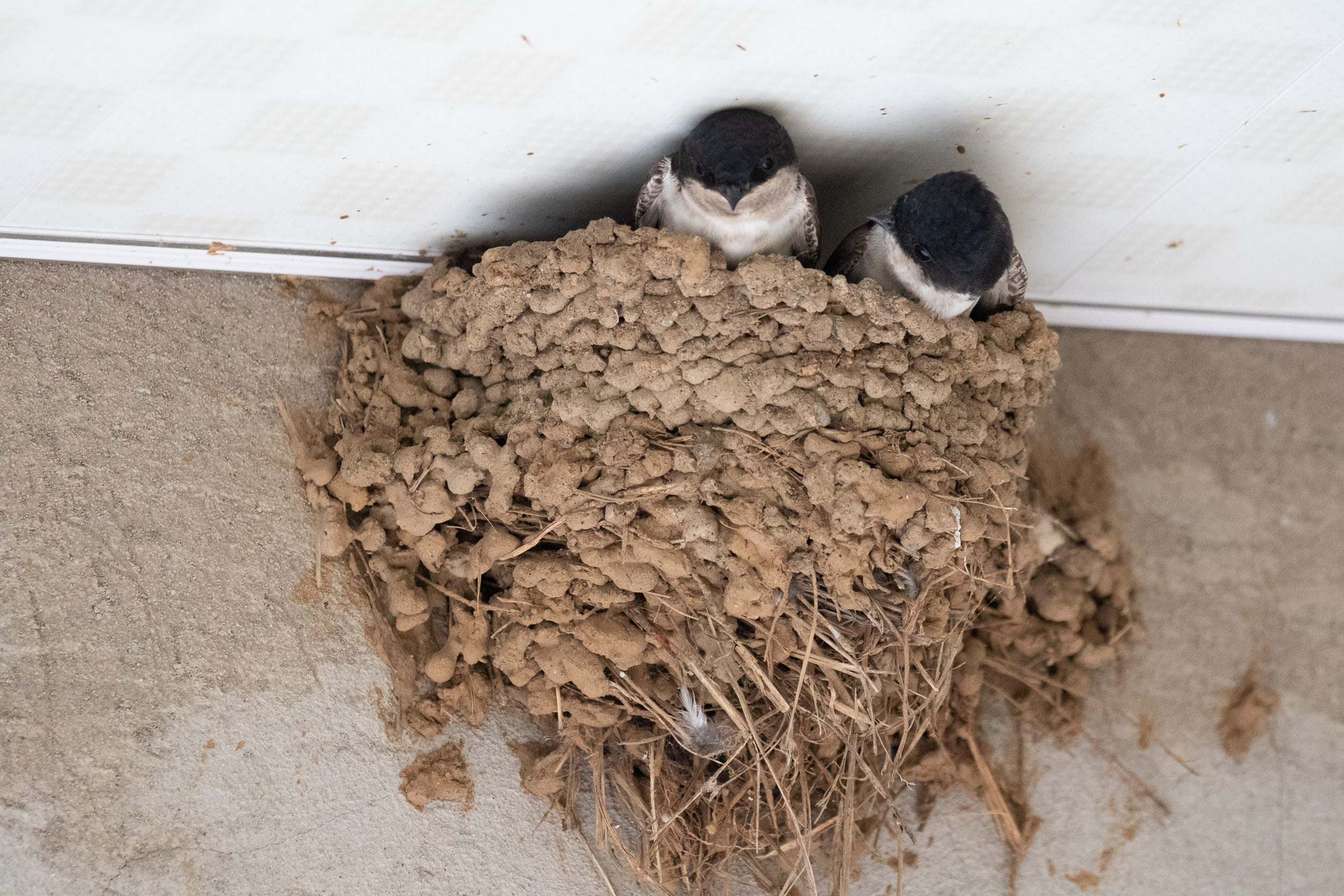 August 21st.  Ruslan's guesthouse not only hosts the BRC family during the season, but now also hosts a family of House Martins. The birds come back to the nest to roost during the nights.