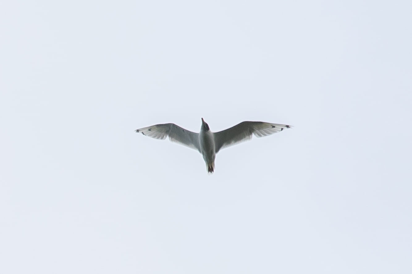 August 23rd.  Pallas / Great Black-headed Gull, a very early record. For some reason this bird decided to fly right over our heads. Despite the crappy angle for photos, a great way to 'bimbo' (a bimbo = a lifer) this bird. There would be quite a few more observations of this species this autumn.