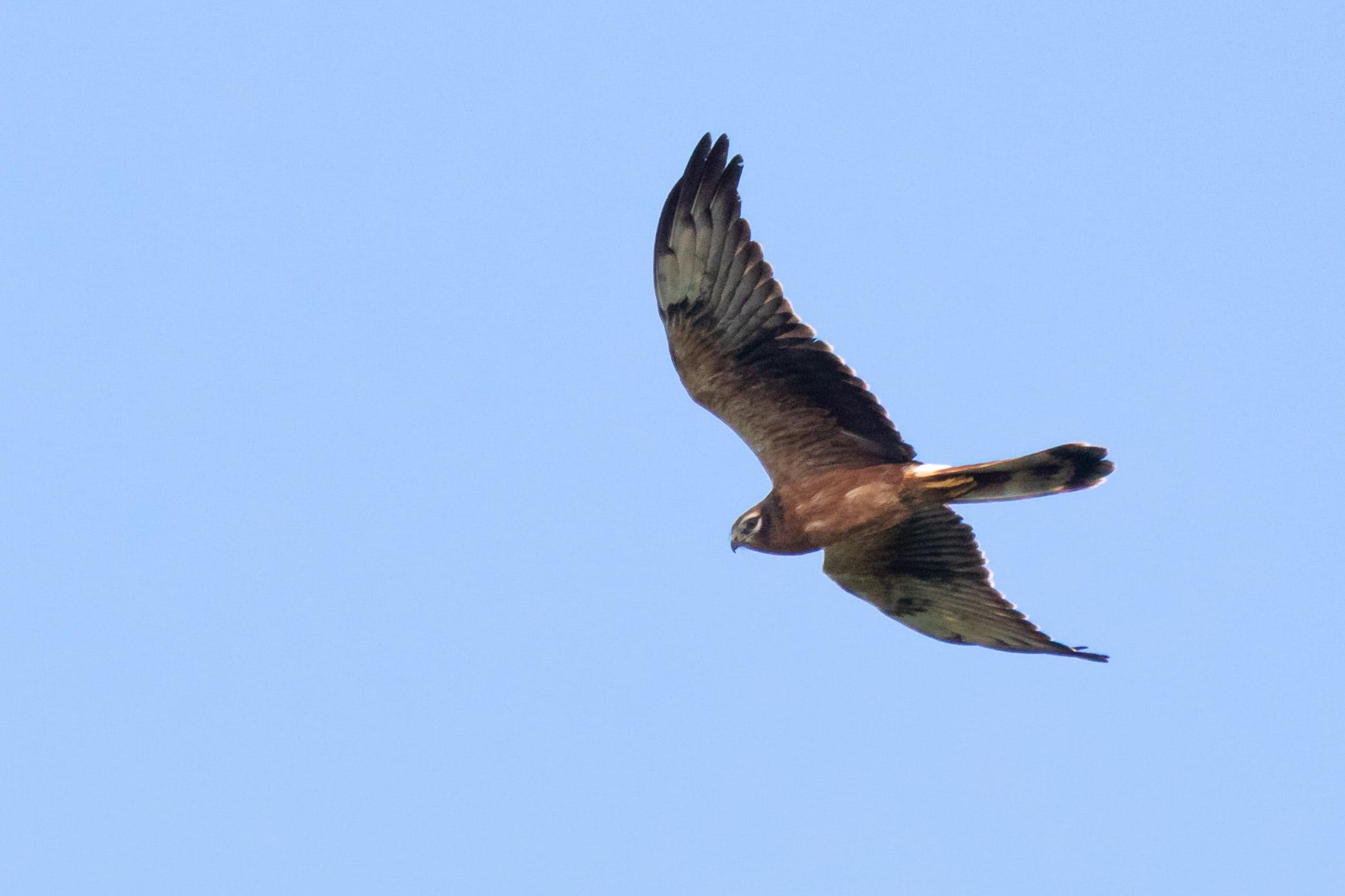 August 26th.  Montagu's Harrier juvenile female.