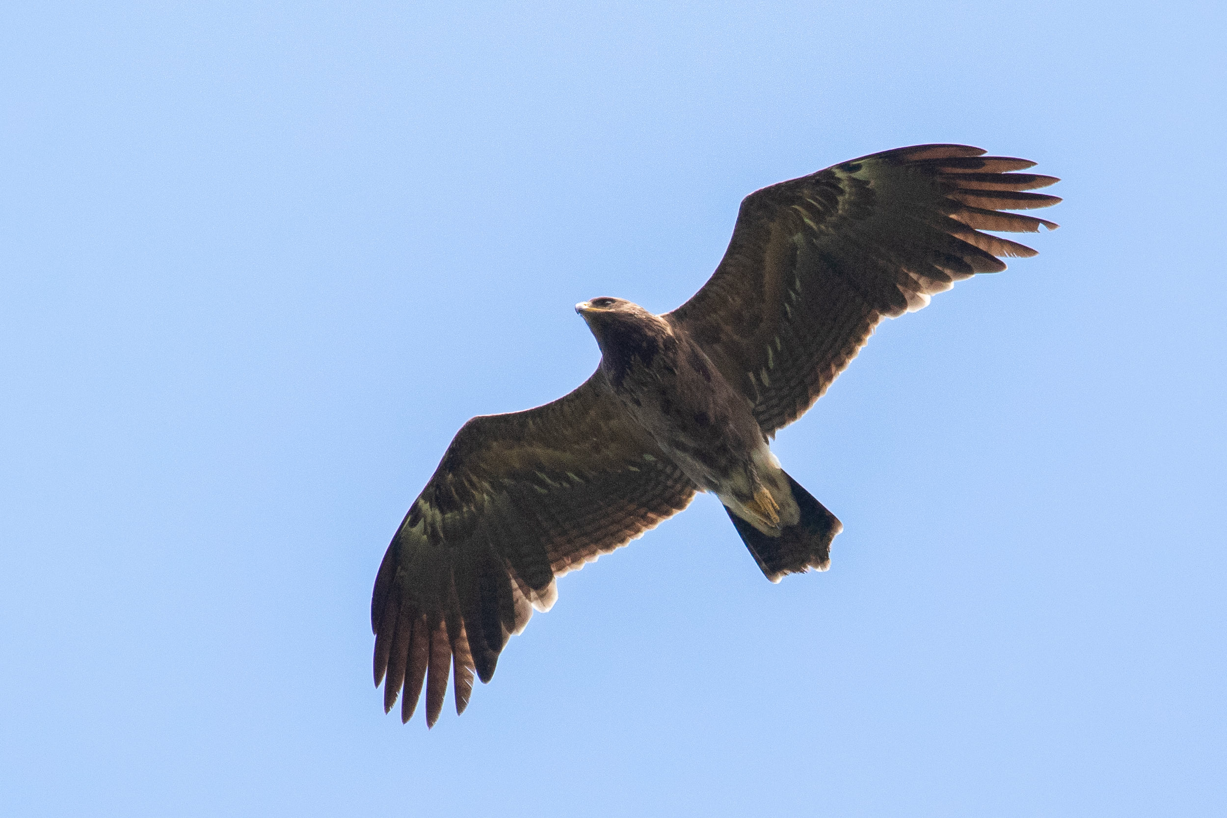 August 26th.  Lesser Spotted Eagle immature, one of the earliest birds. Second calendar year bird with replaced inner primaries and the typical barring throughout the secondaries all the way to the feather tips.