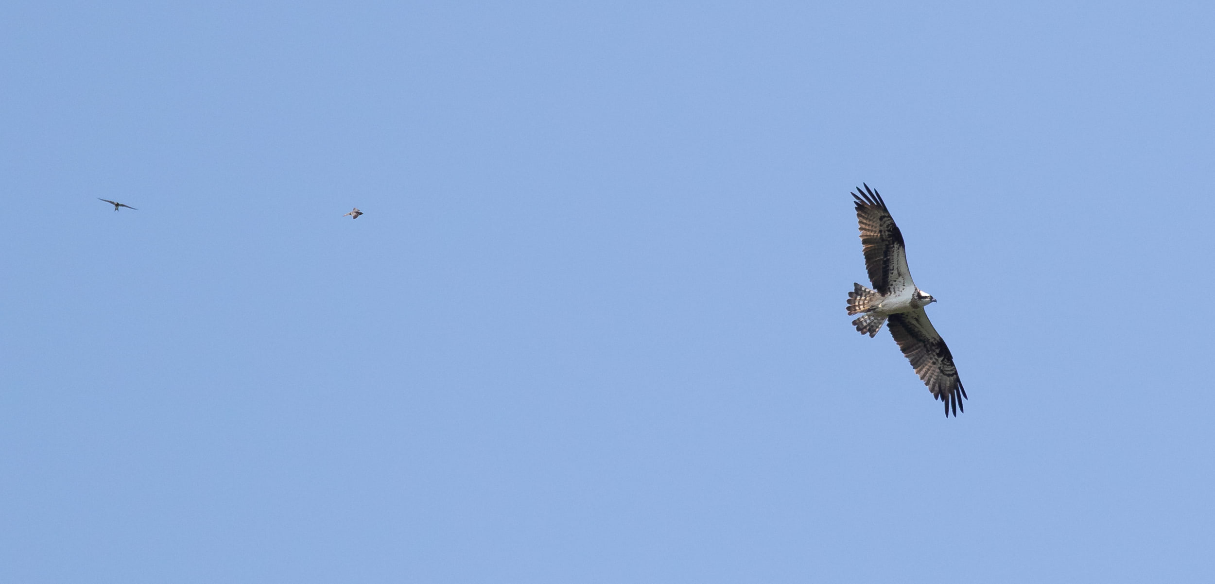 August 27th.  Adult female Osprey with 2 nice Alpine Swifts circling around it.