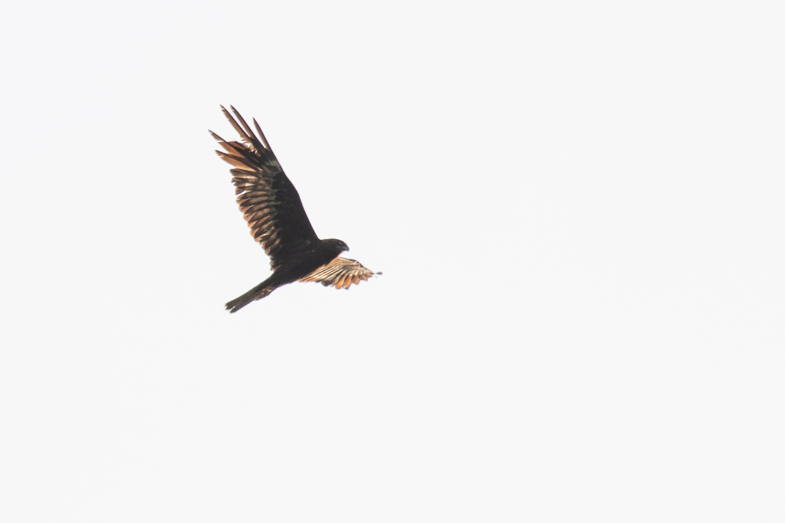 August 31st.  Adult male Marsh Harrier of the striking dark morph, presumably shot in the right wing. Notice the very dark body and underwing coverts, the light patch at the base of the secondaries and primaries, causing a strong contrast between the light patch and the dark trailing edge of the wing.