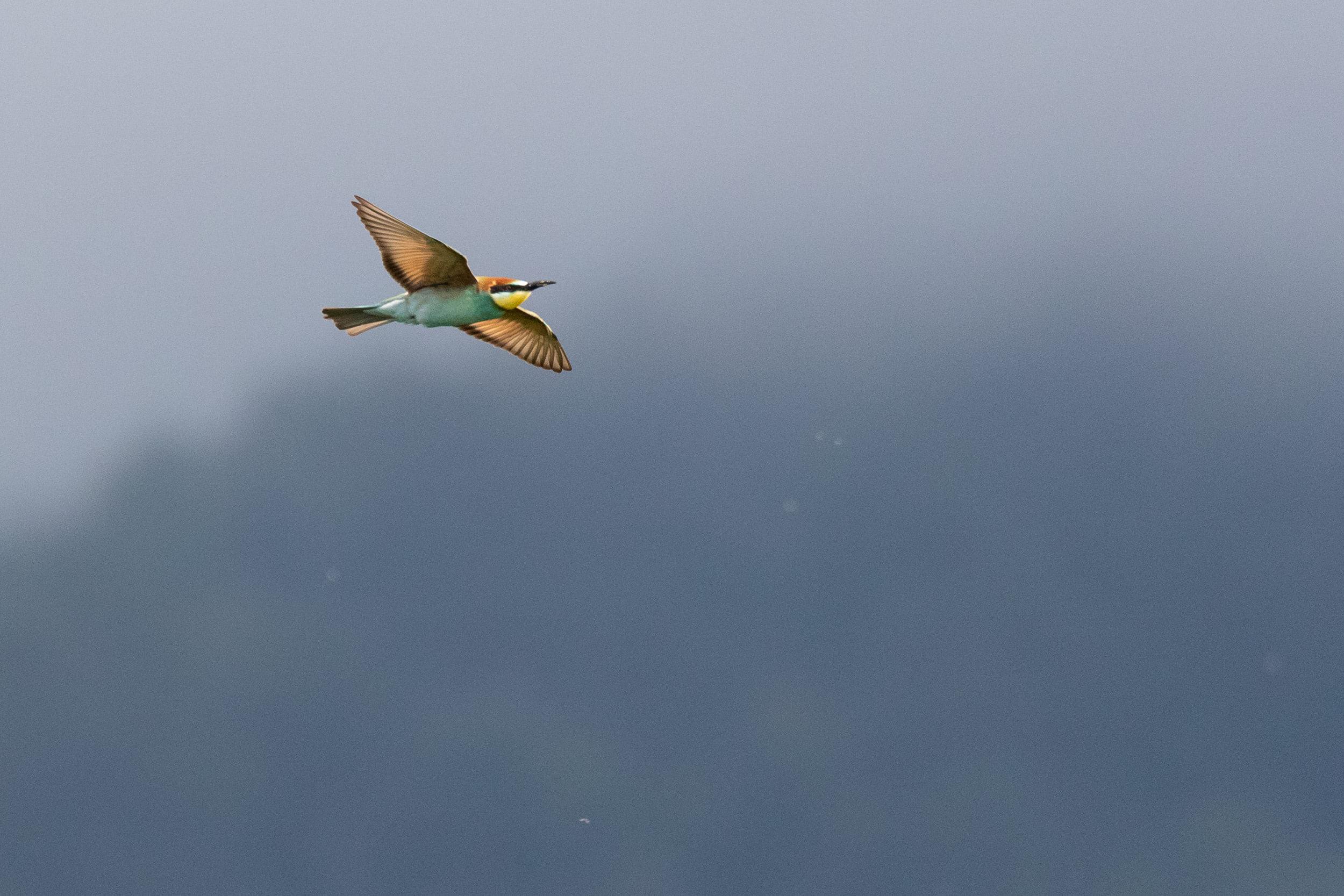 September 1st.  European Bee-eater
