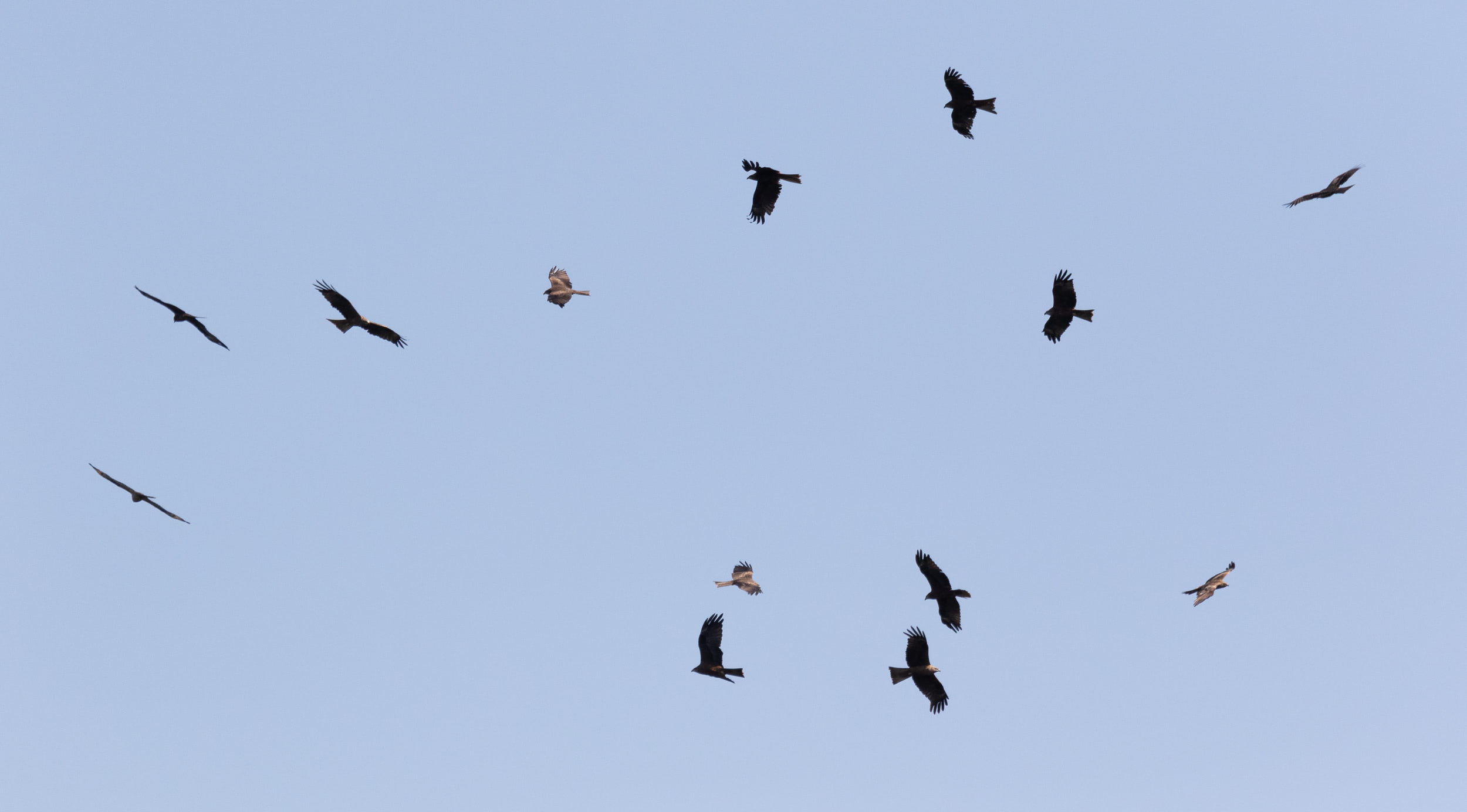 September 6th.  Kettle of Black Kites.