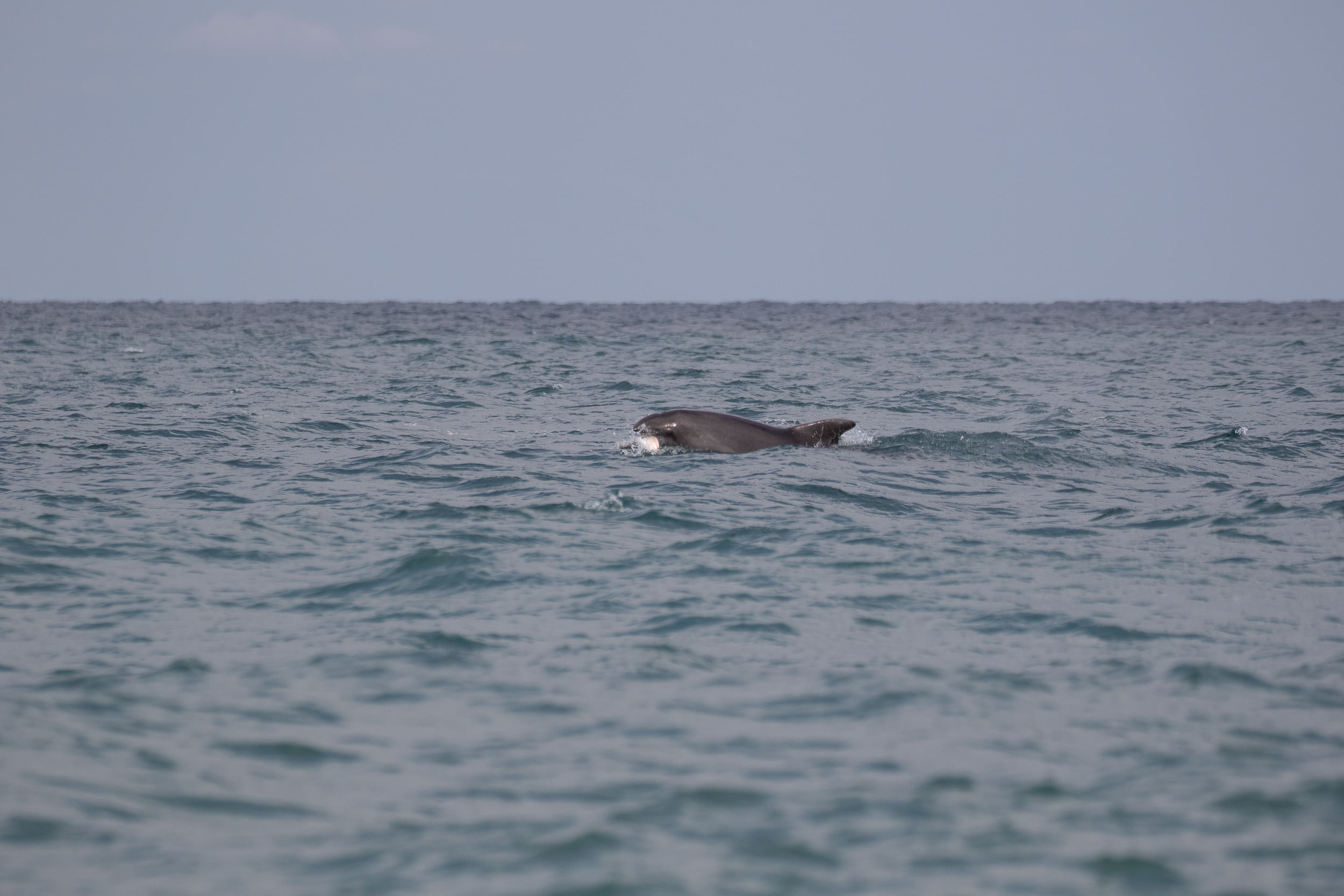September 7th.  Three species of dolphin can be observed in the Black Sea. Sometimes they approach quite close and are easy to spot…