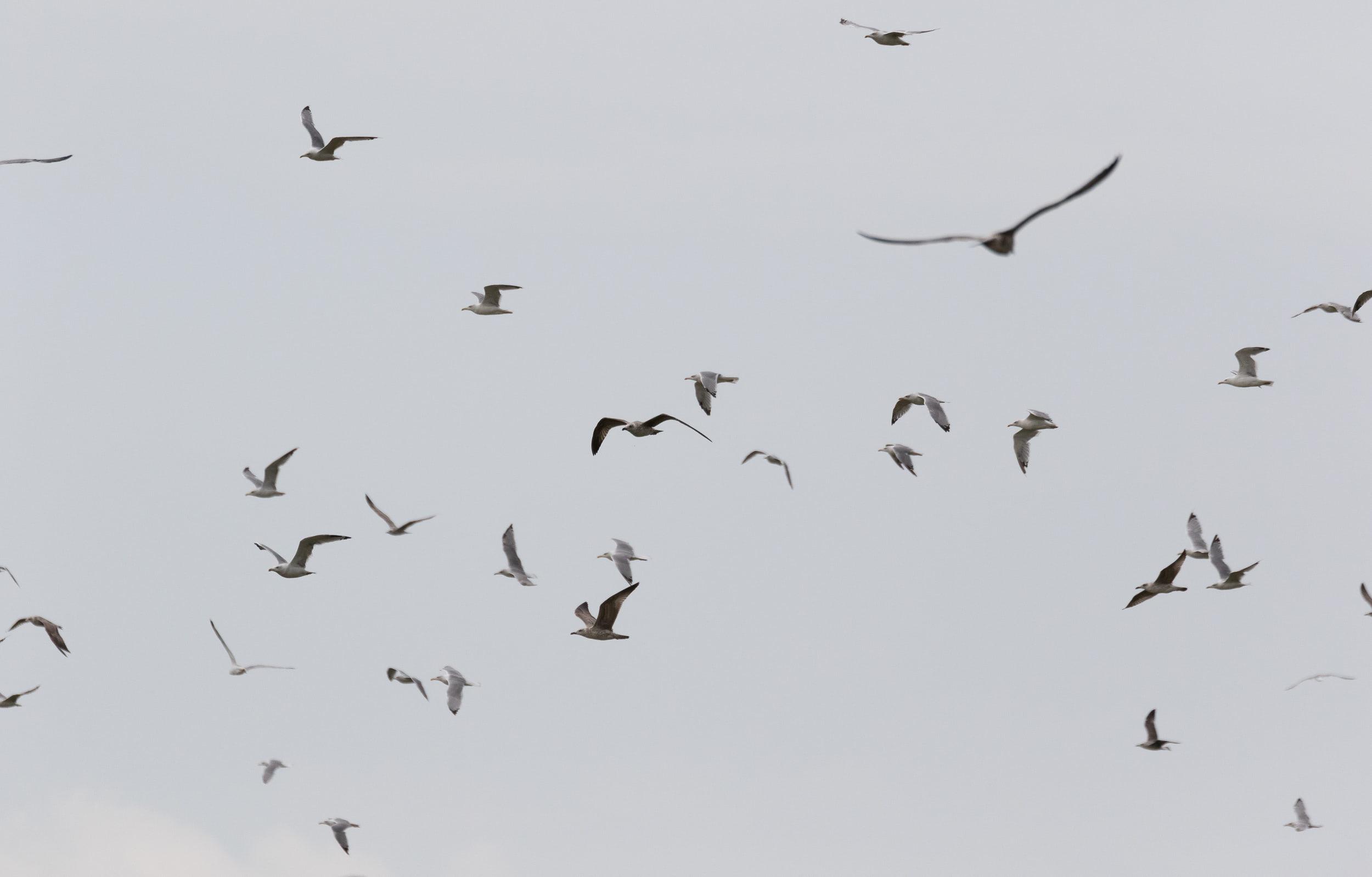 September 7th.  Mostly Yellow-legged Gulls.