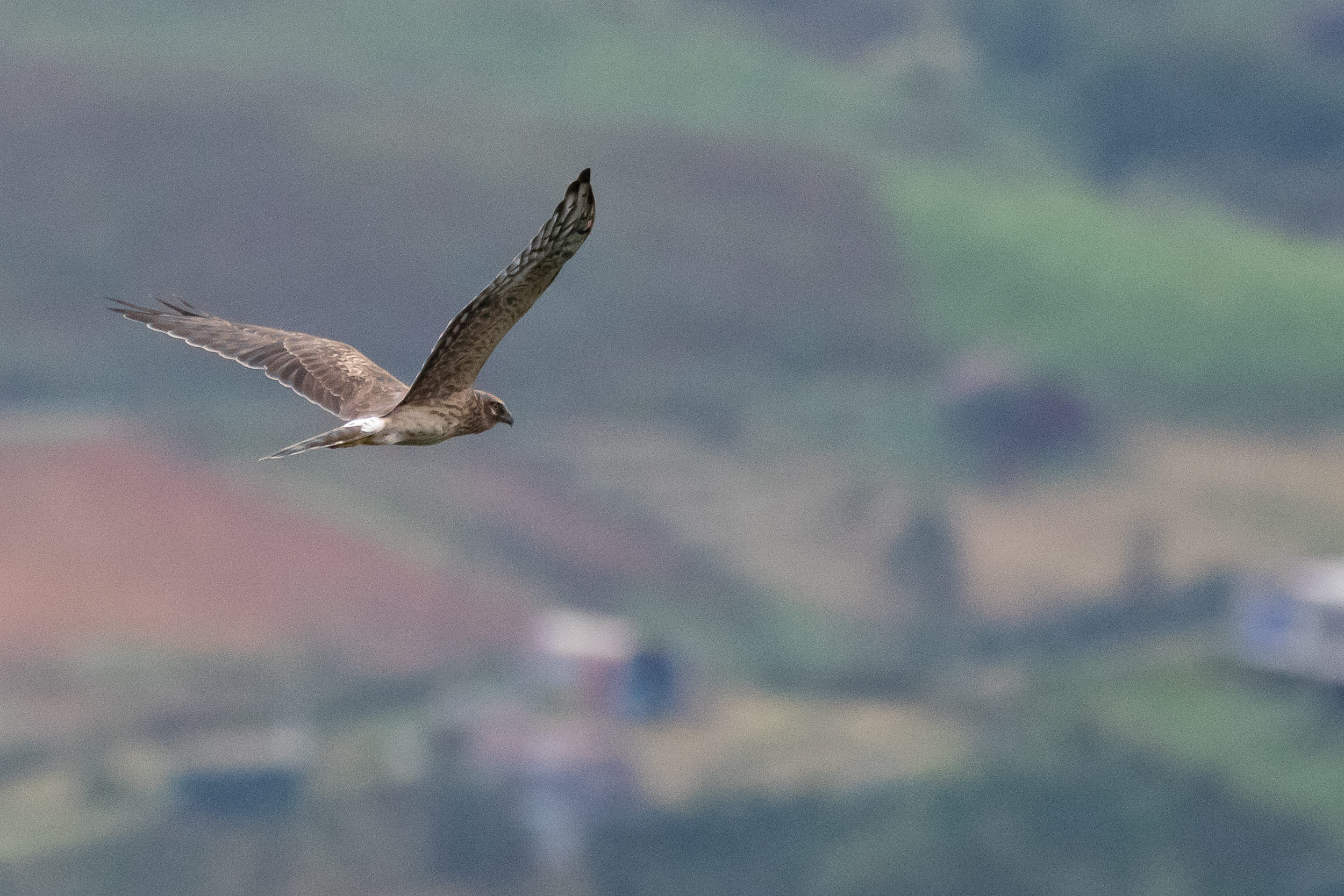September 9th.  Close flyby of an adult female Pallid Harrier. Amazing birds…