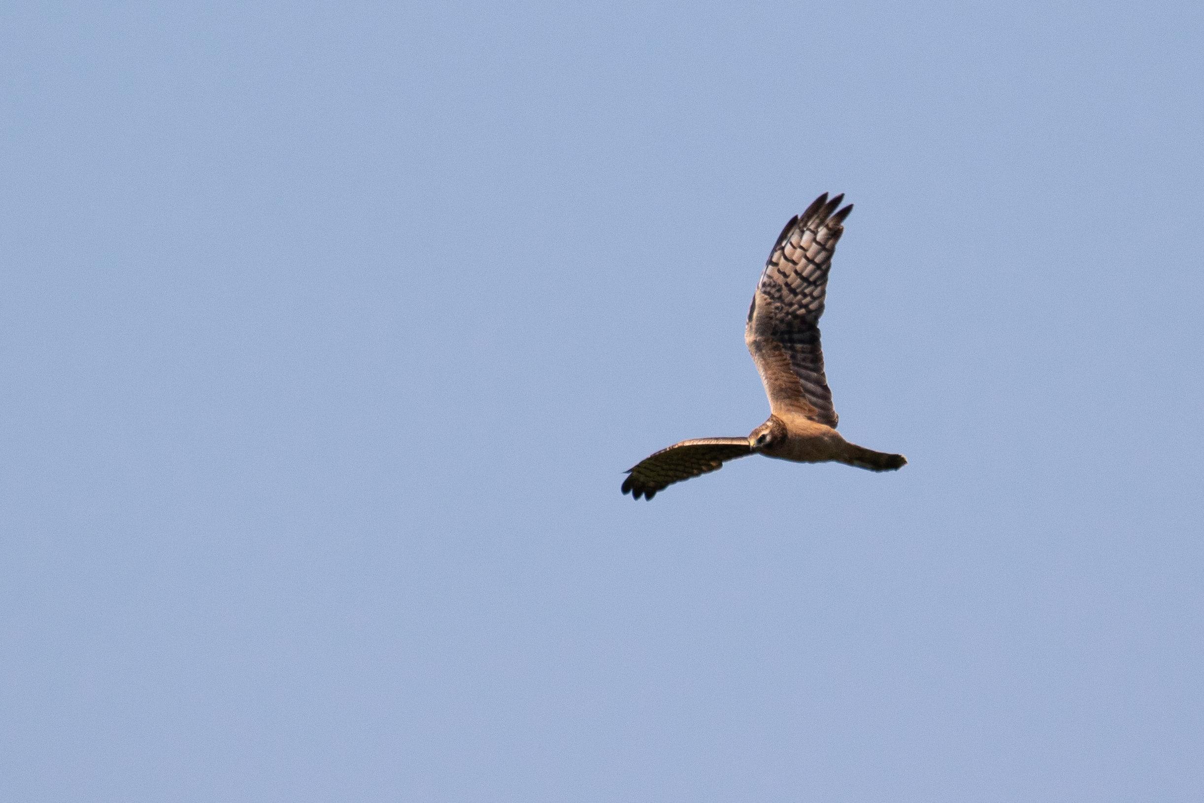 September 13th.  Juvenile Montagu's Harrier.