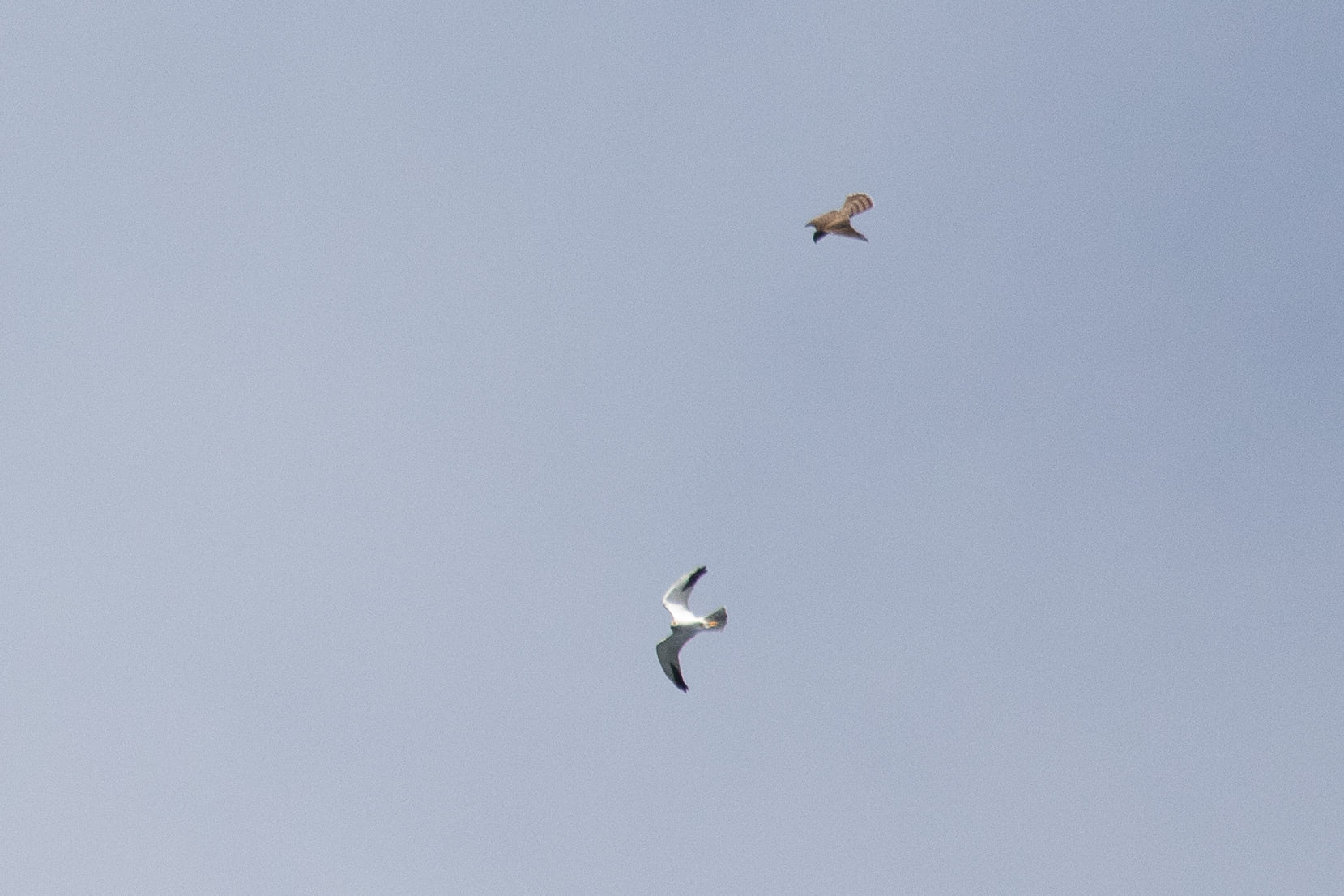 September 15th.  Some Accipiter chasing an adult male Pallid Harrier above our heads.