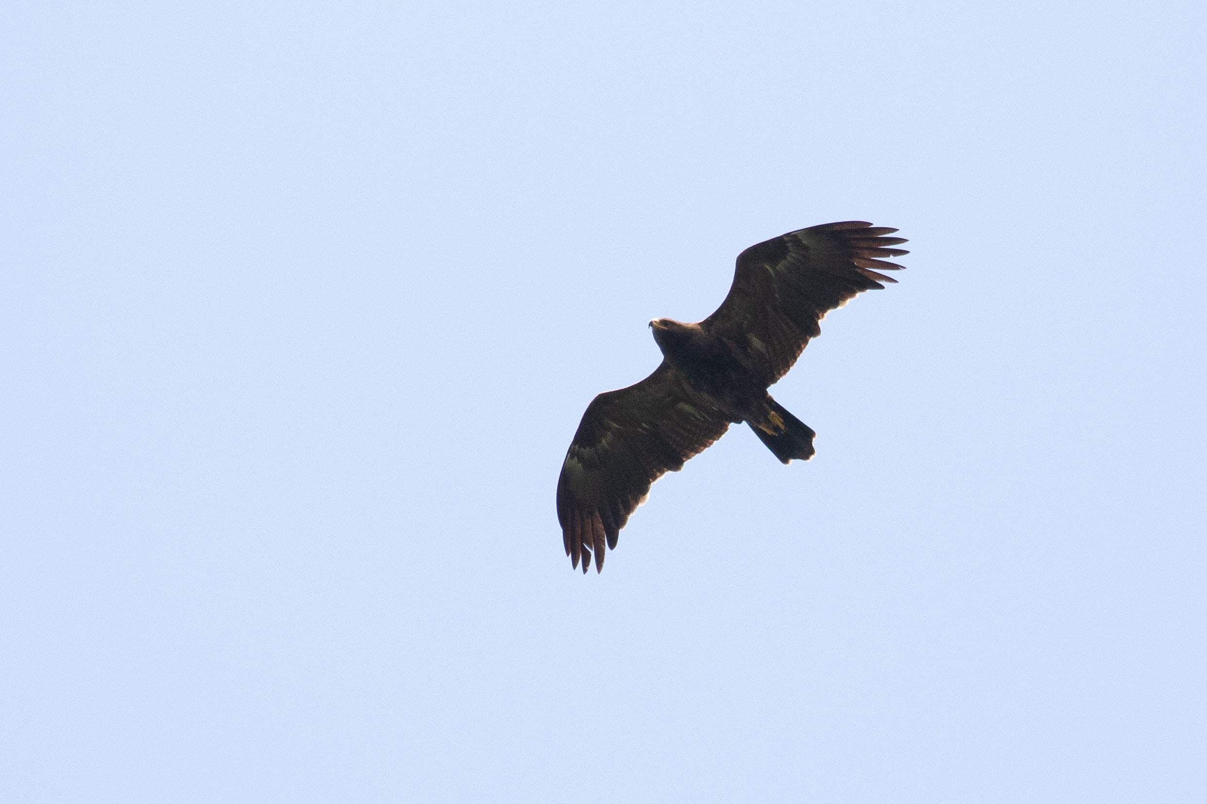 September 16th.  Immature (2cy) Lesser Spotted Eagle with fresh inner primaries and the third secondary (S3) counting inwards replaced on both wings.