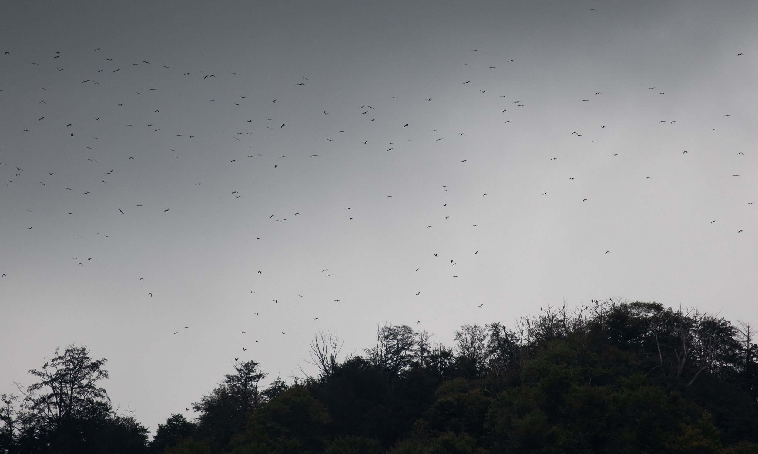 September 19th.  Large flock of Black Kites leaving the roost on Little Ginger early in the morning. Some birds are still in the trees.