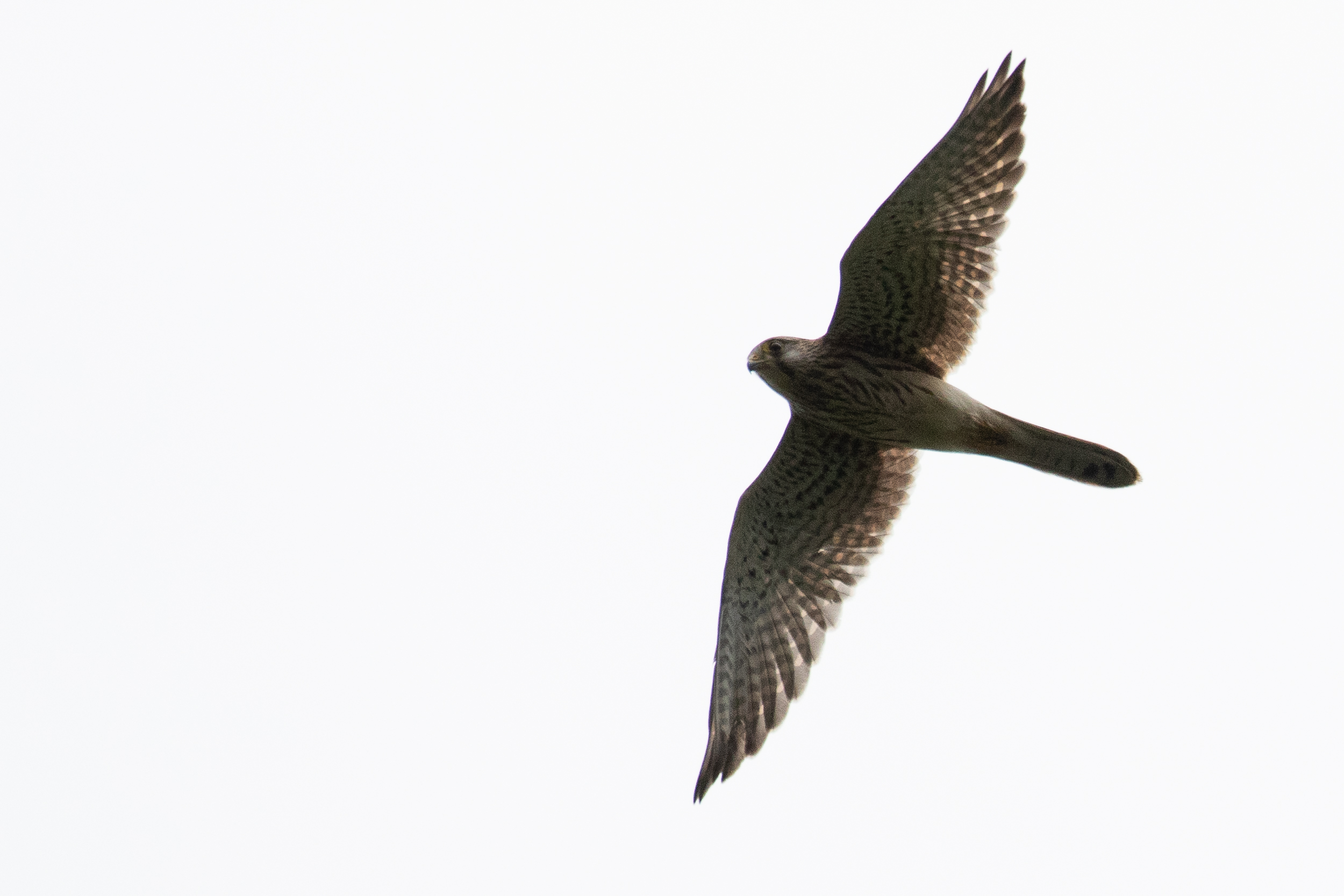 September 27th.  Juvenile Common Kestrel (see the length of the outer primary is equal to the 4th counting inwards, P10 = P7).