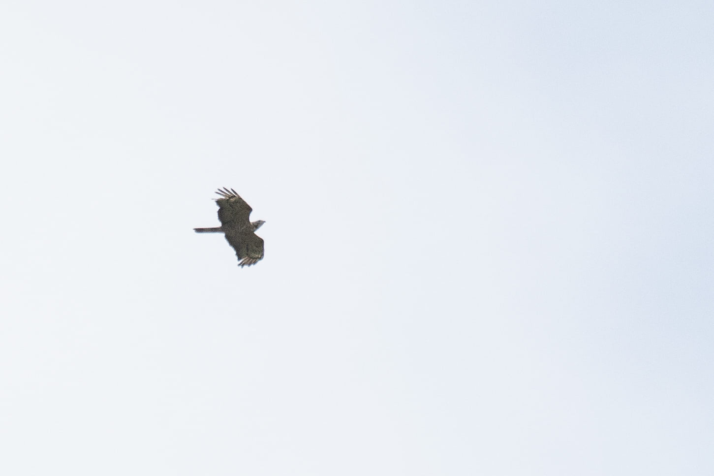 September 29th.  Strange hybrid Honey Buzzard. Very pale bird, with no carpal patches, very broad hand that clearly fits 6 fingers, very broad bars on the tail, but the wing barring — once again — is very typical for a European HB.