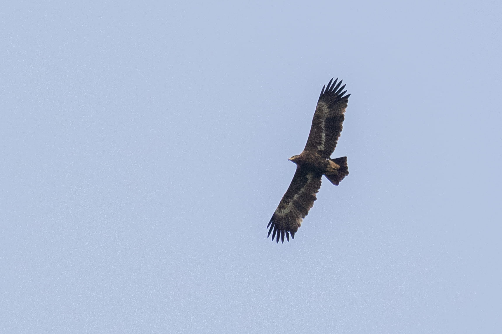 September 29th.  Immature Steppe Eagle, presumably a 4th calendar year or older.
