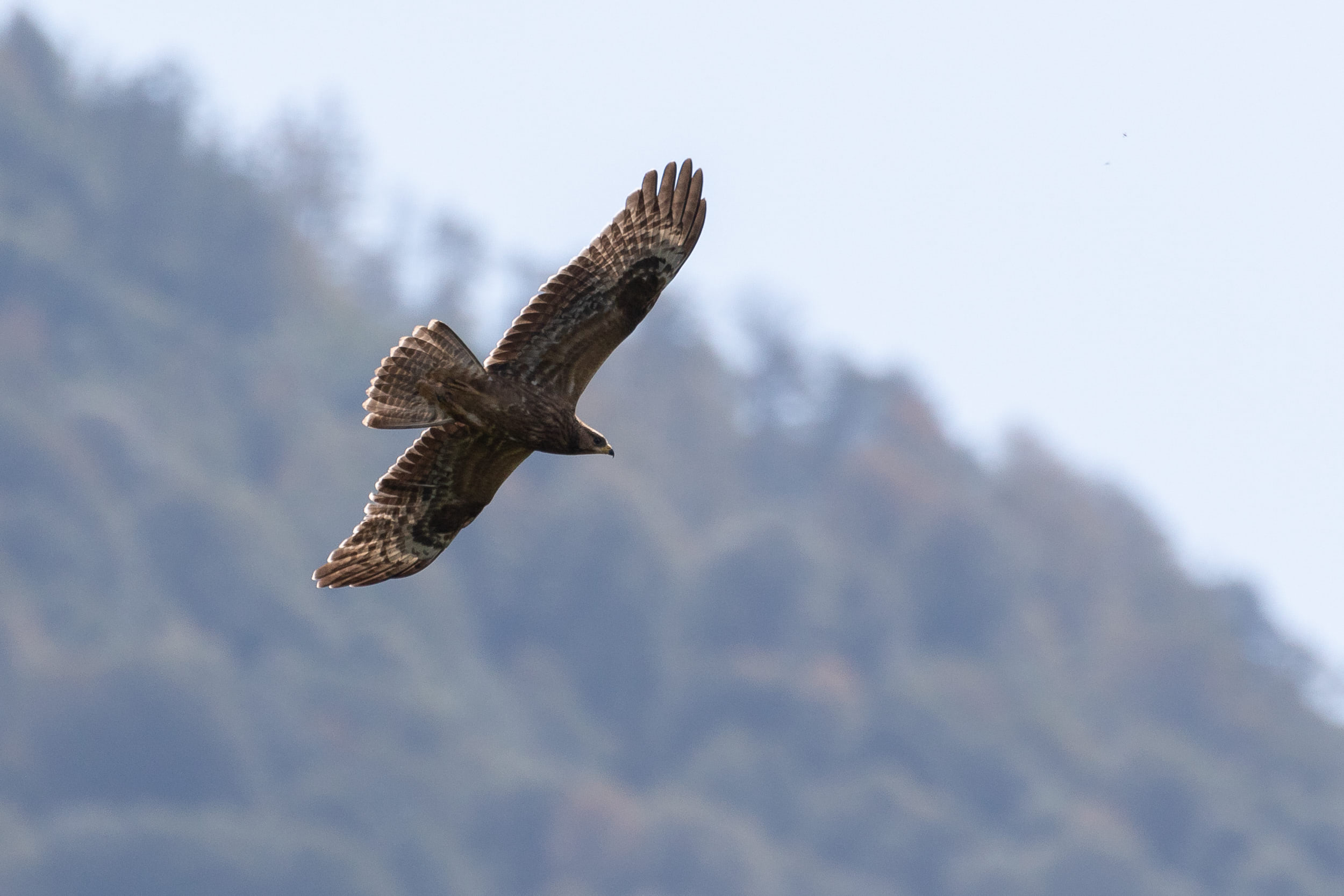 October 1st.  Juvenile Honey Buzzard.