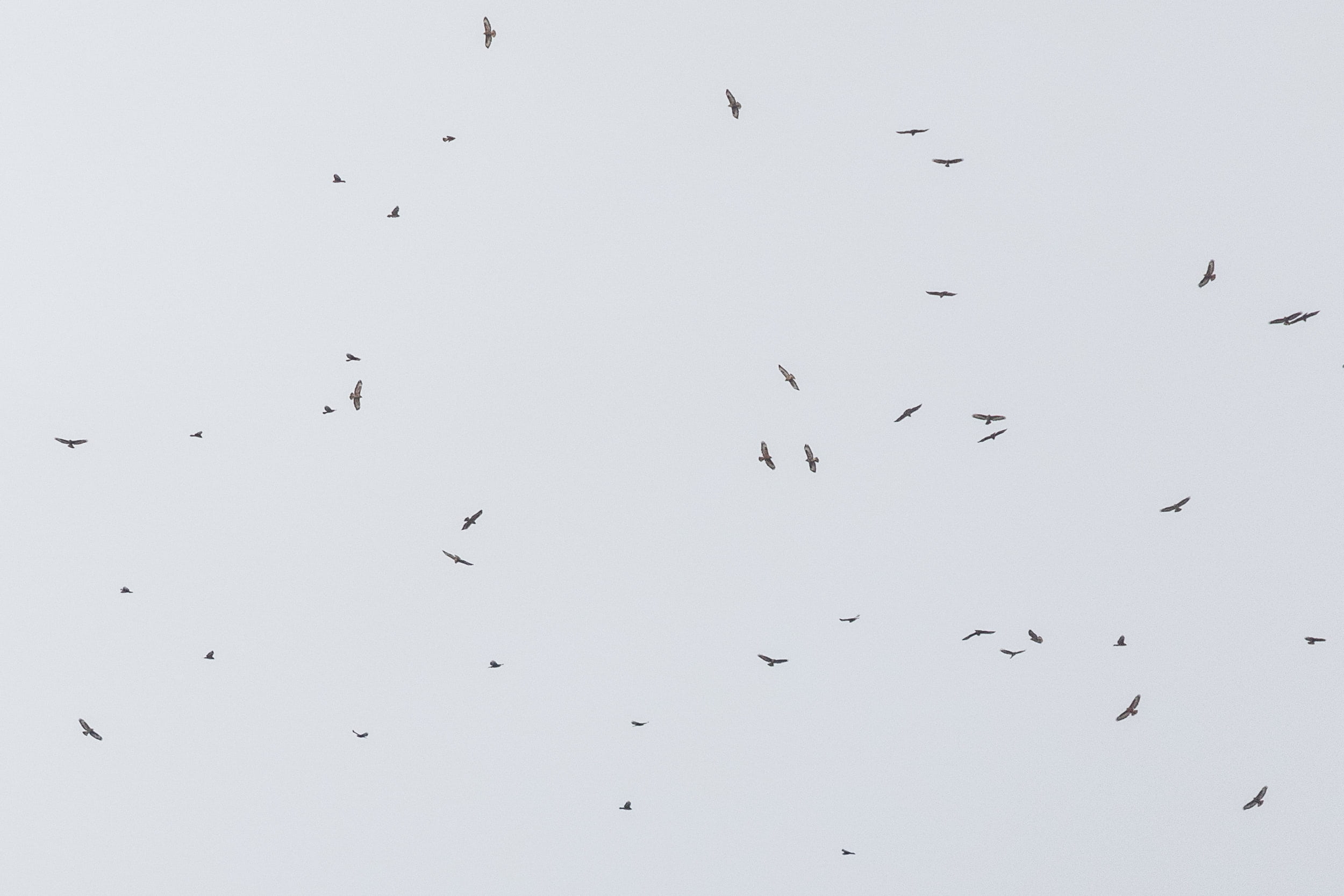 October 6th.  Flock of Steppe Buzzards. Many SBs showed interesting behaviour this day, by flying progressively higher as the day went on, showing absolutely no sign of decreasing their altitude due to decreasing thermal activity. Not sure what was going on there…