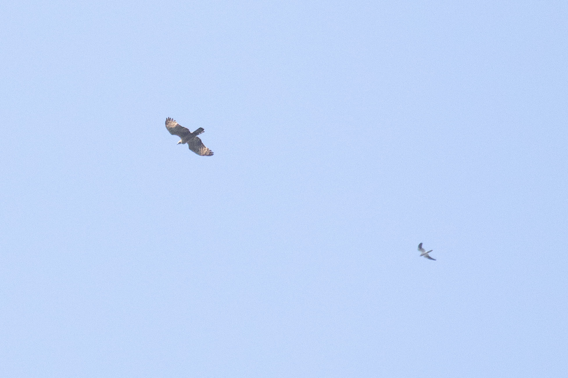 September 1st.  The first Crested Honey Buzzard of the season, an adult female, and an adult male Montagu's Harrier.