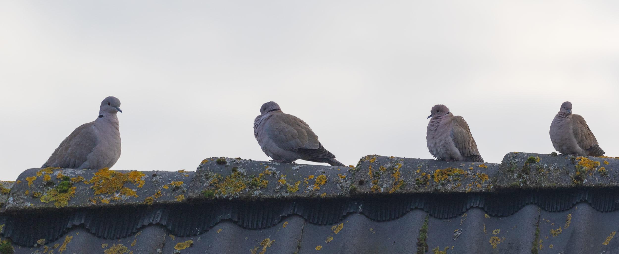 Eurasian Collared Doves.