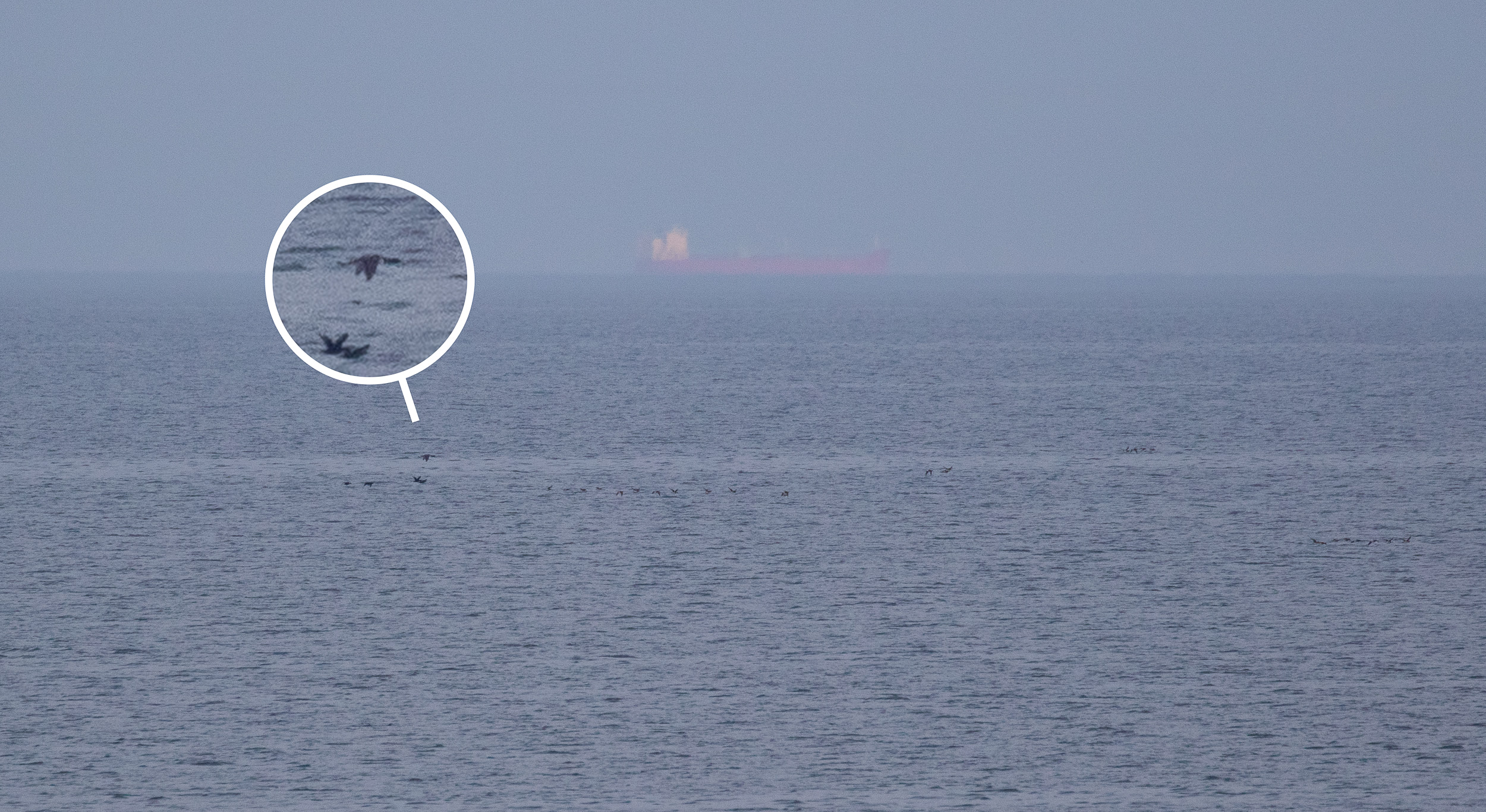 My first 'proper' Yellow-billed Diver. Great to see after an observation of a migrating individual in The Netherlands that left me very unsatisfied. In case you're wondering where the yellow bill went, that's a typical 'sign' you're looking at a YbD: it's very hard to see the bill against the sea.