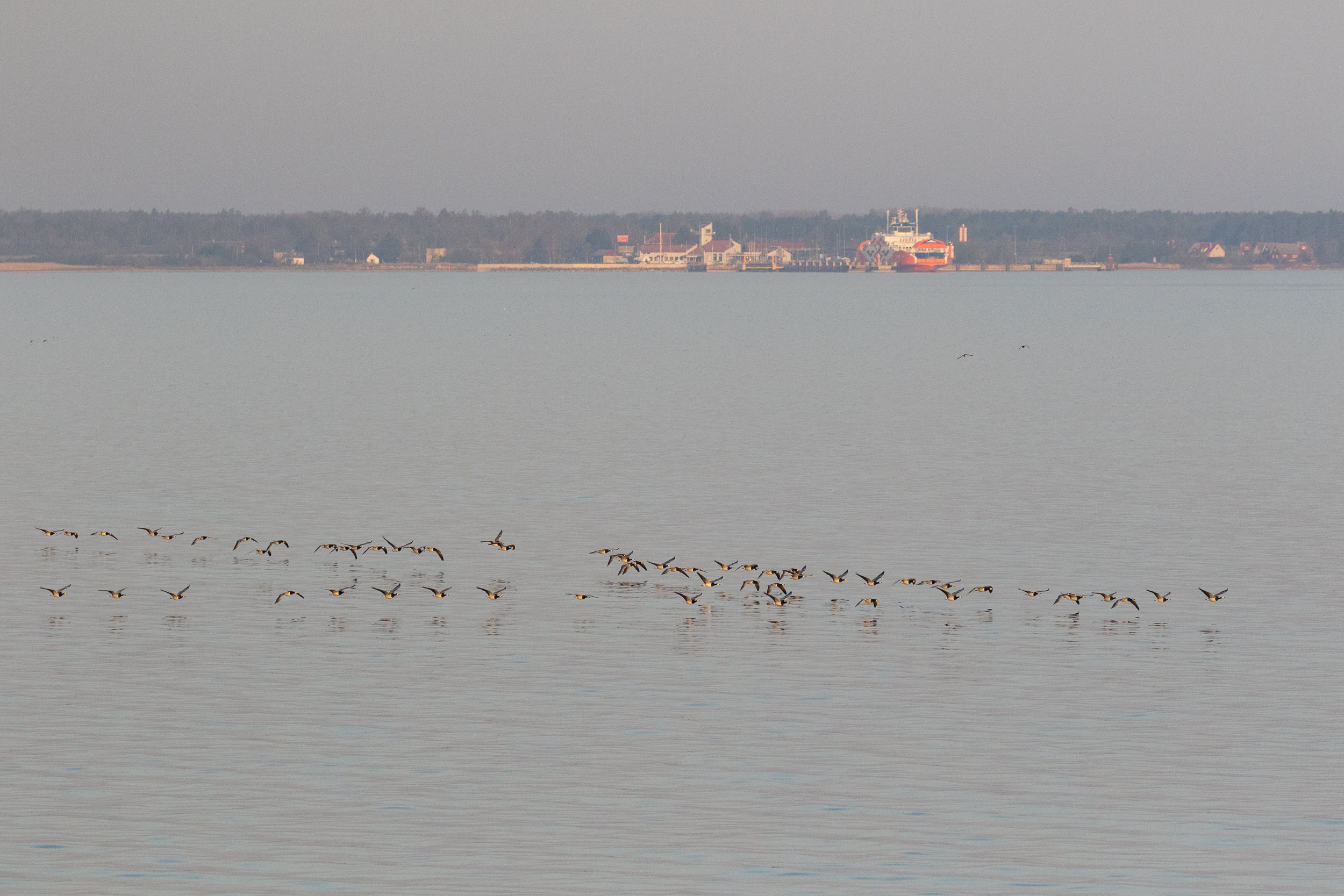 Flock of Barnacle Geese crossing in front of the ferry. Very pretty geese in general, but especially in Estonian light conditions…