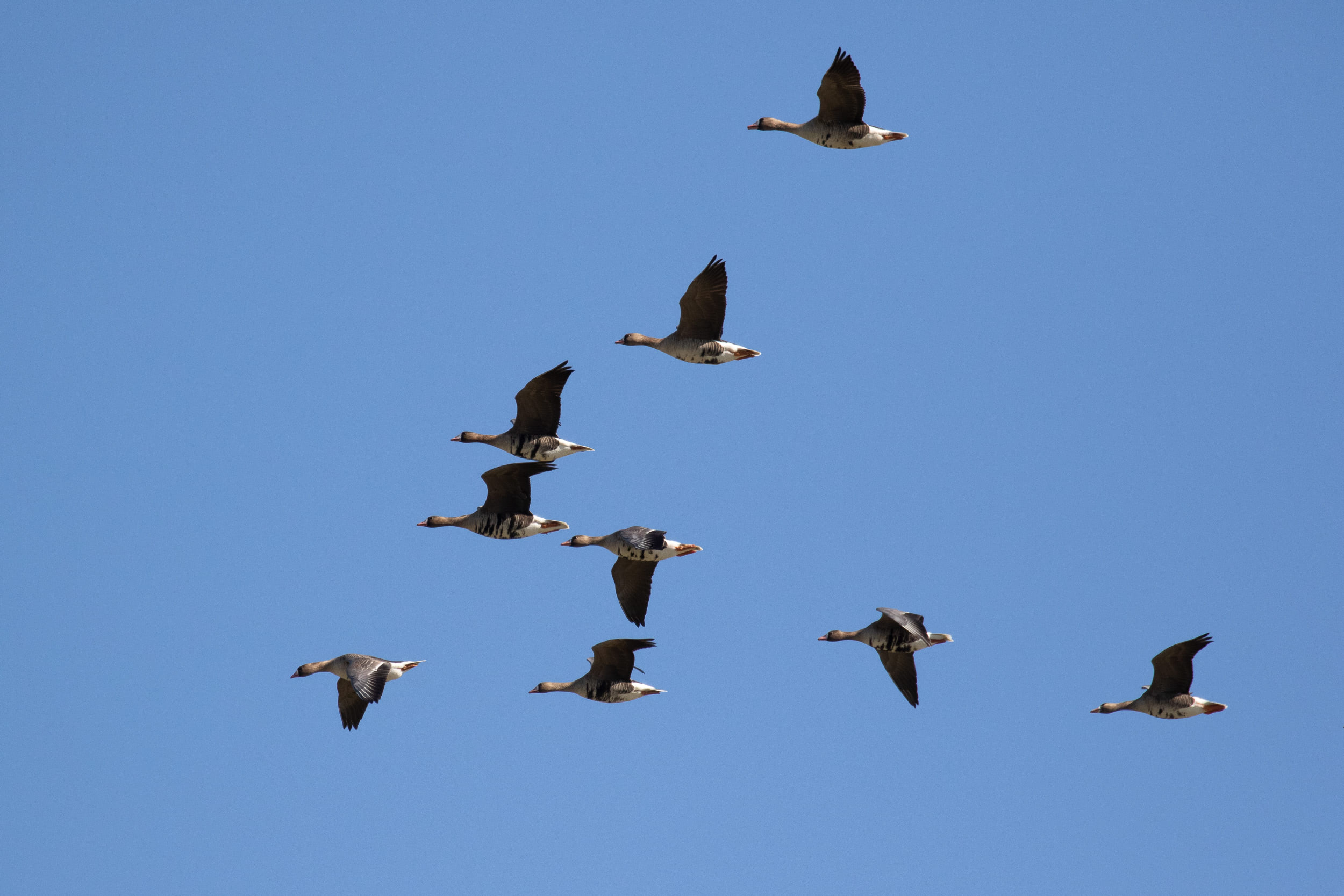 Greater White-fronted Geese.