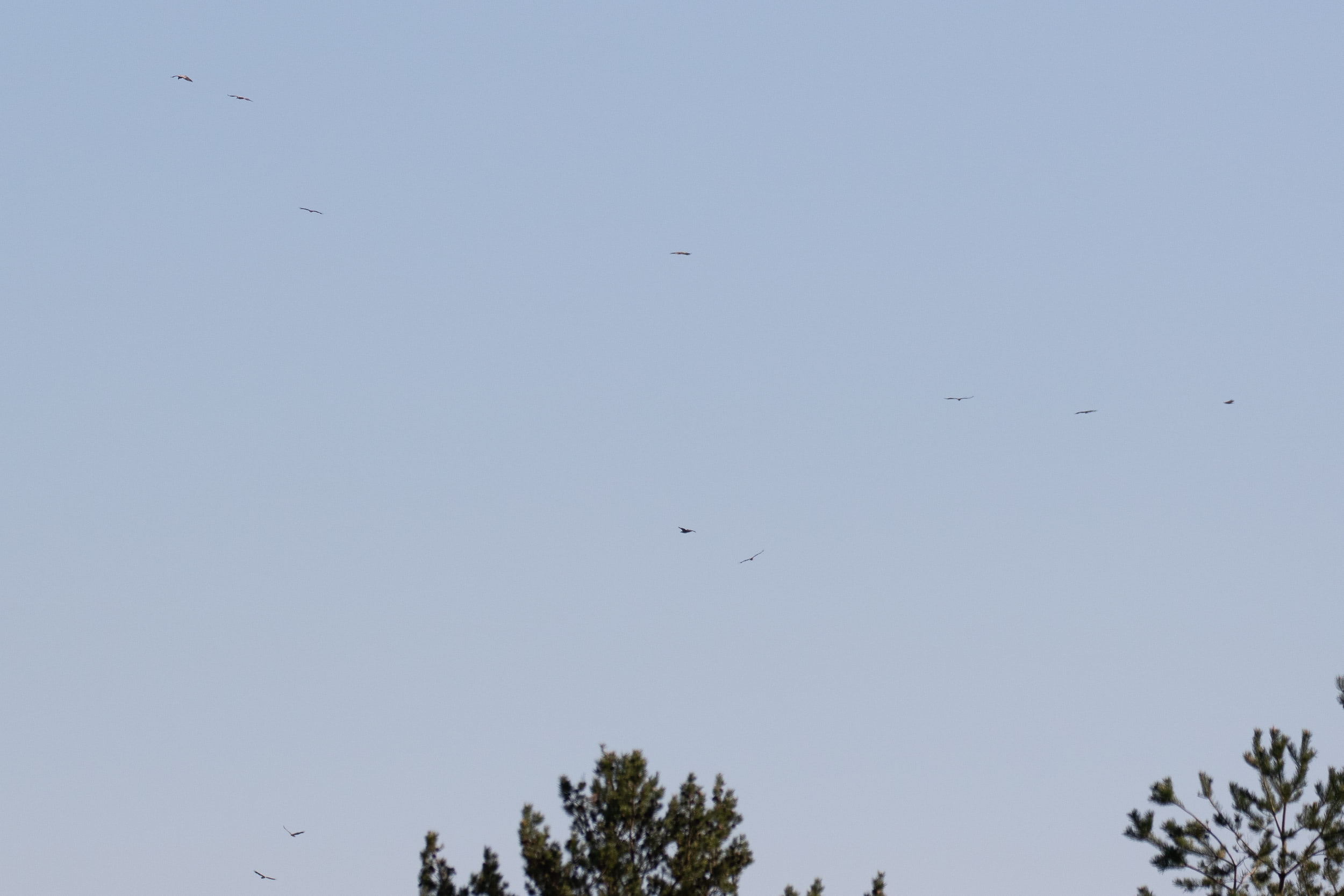 Quite regularly the geese would be scared away from the bay by approaching White-tailed Eagles (so common we call them the Estonian House Sparrows). This kettle of 11 (!) White-tailed Eagles, however, was a surprise to see!