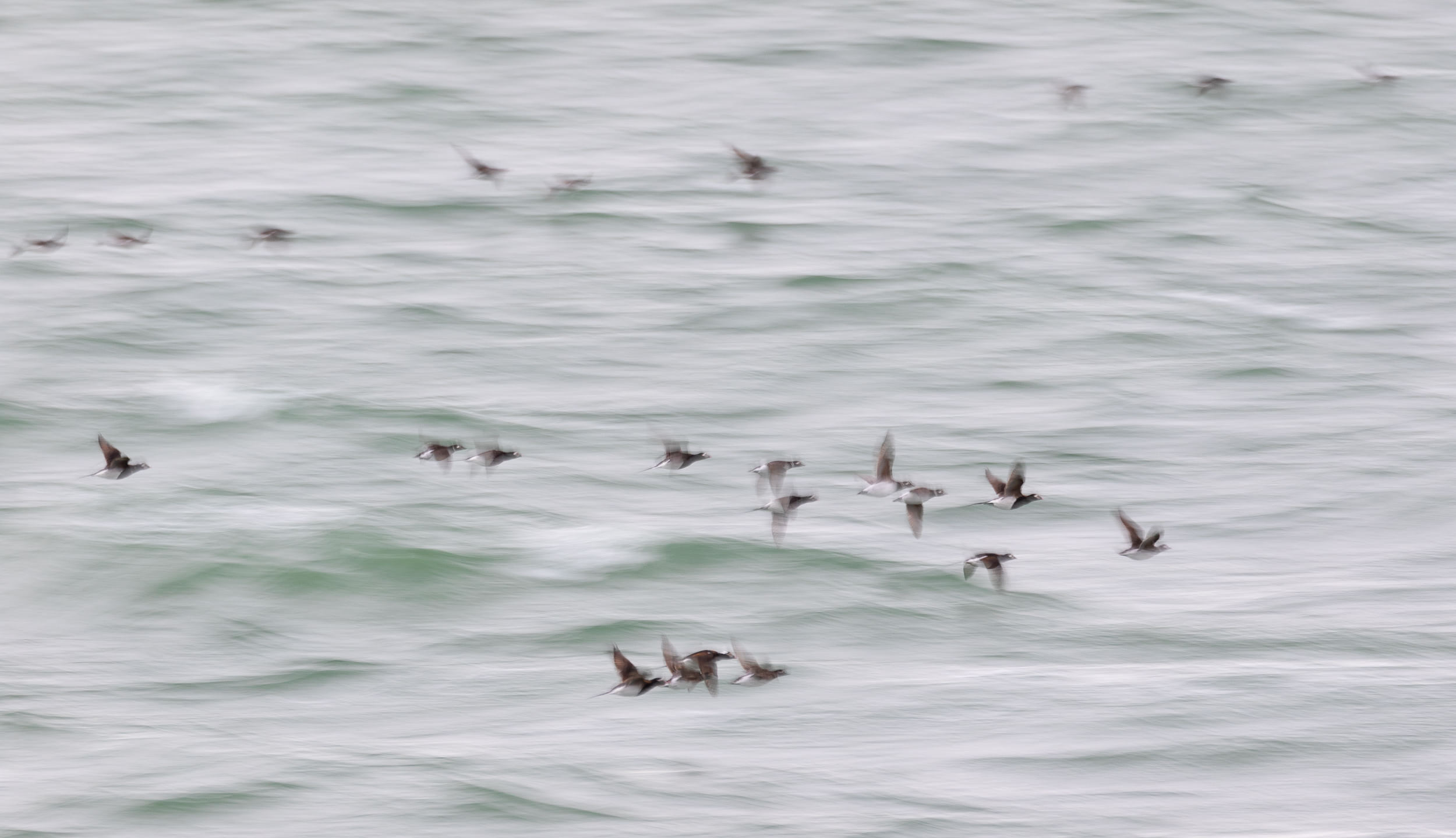 Long-tailed Ducks.