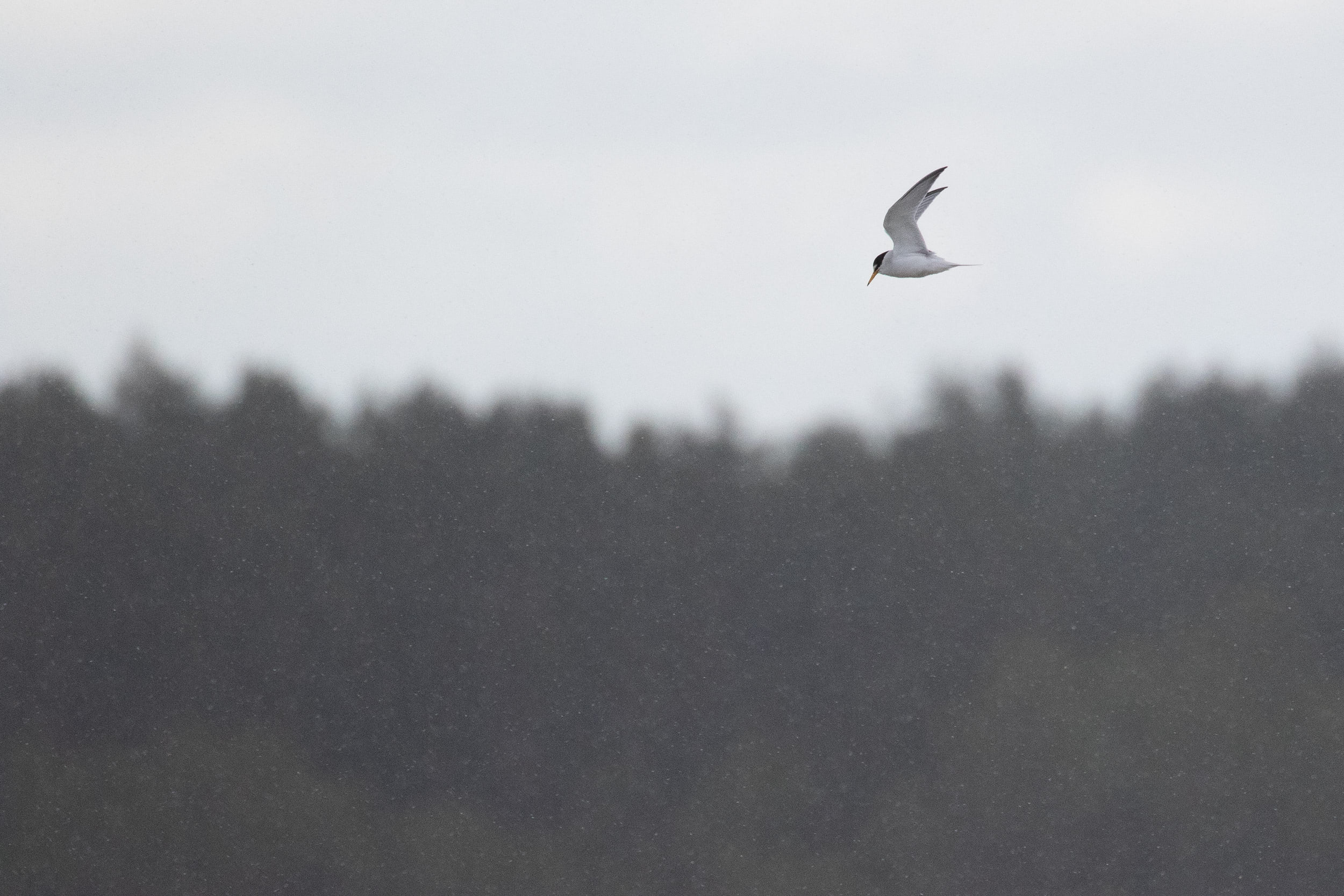 Little Tern in light snow.