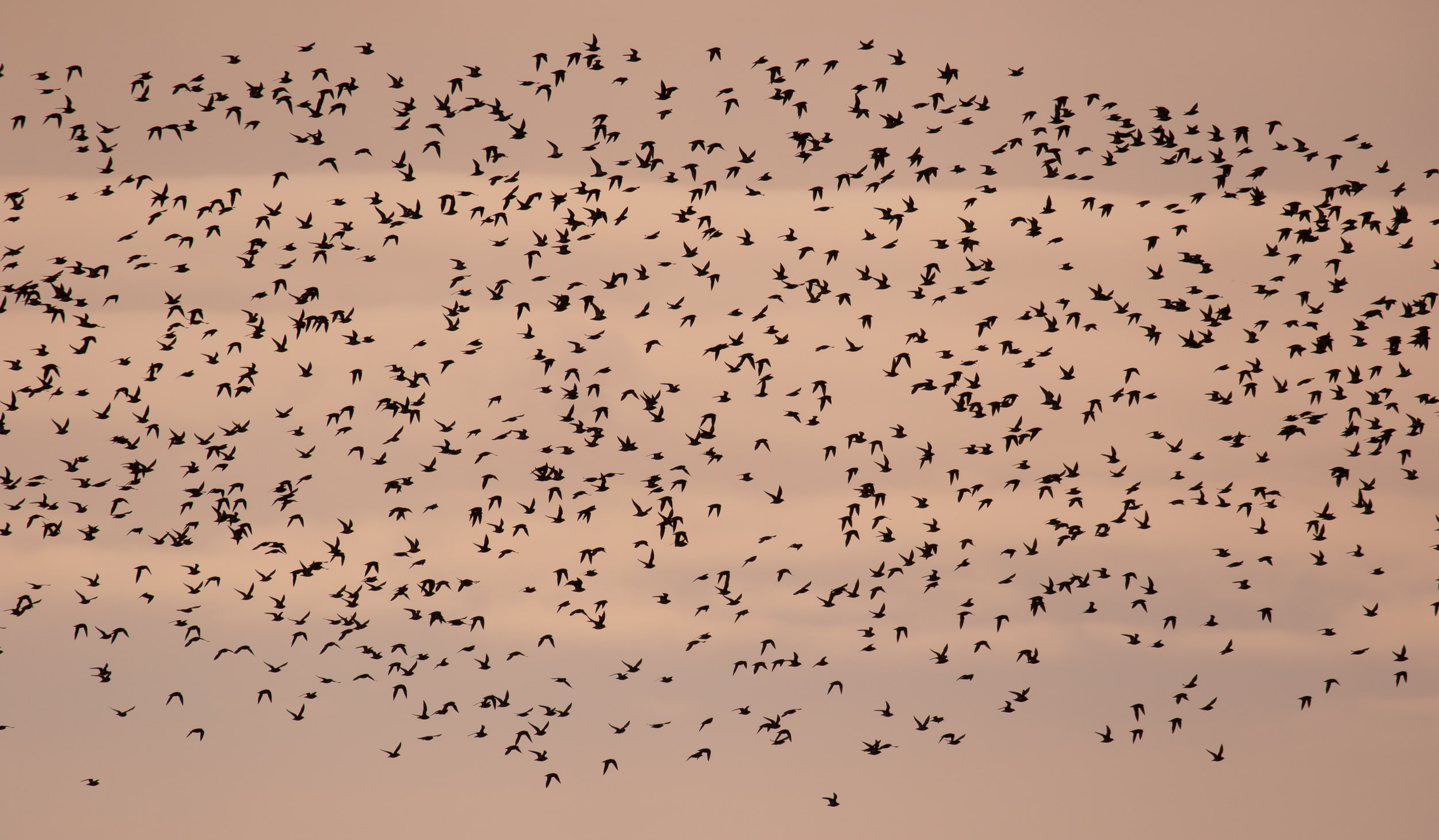 A massive flock of Golden Plovers.