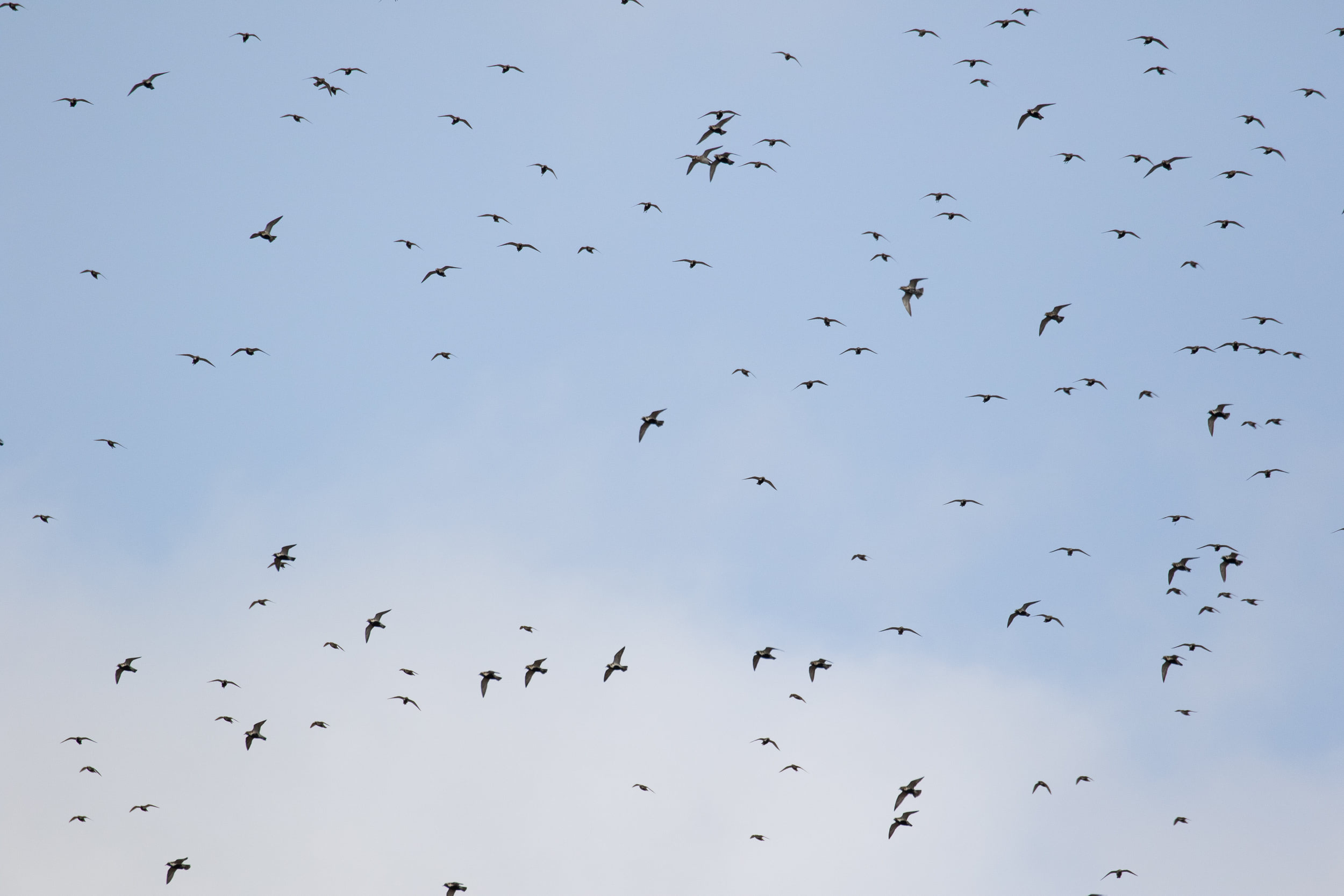 Golden Plovers hanging/soaring in the strong wind.